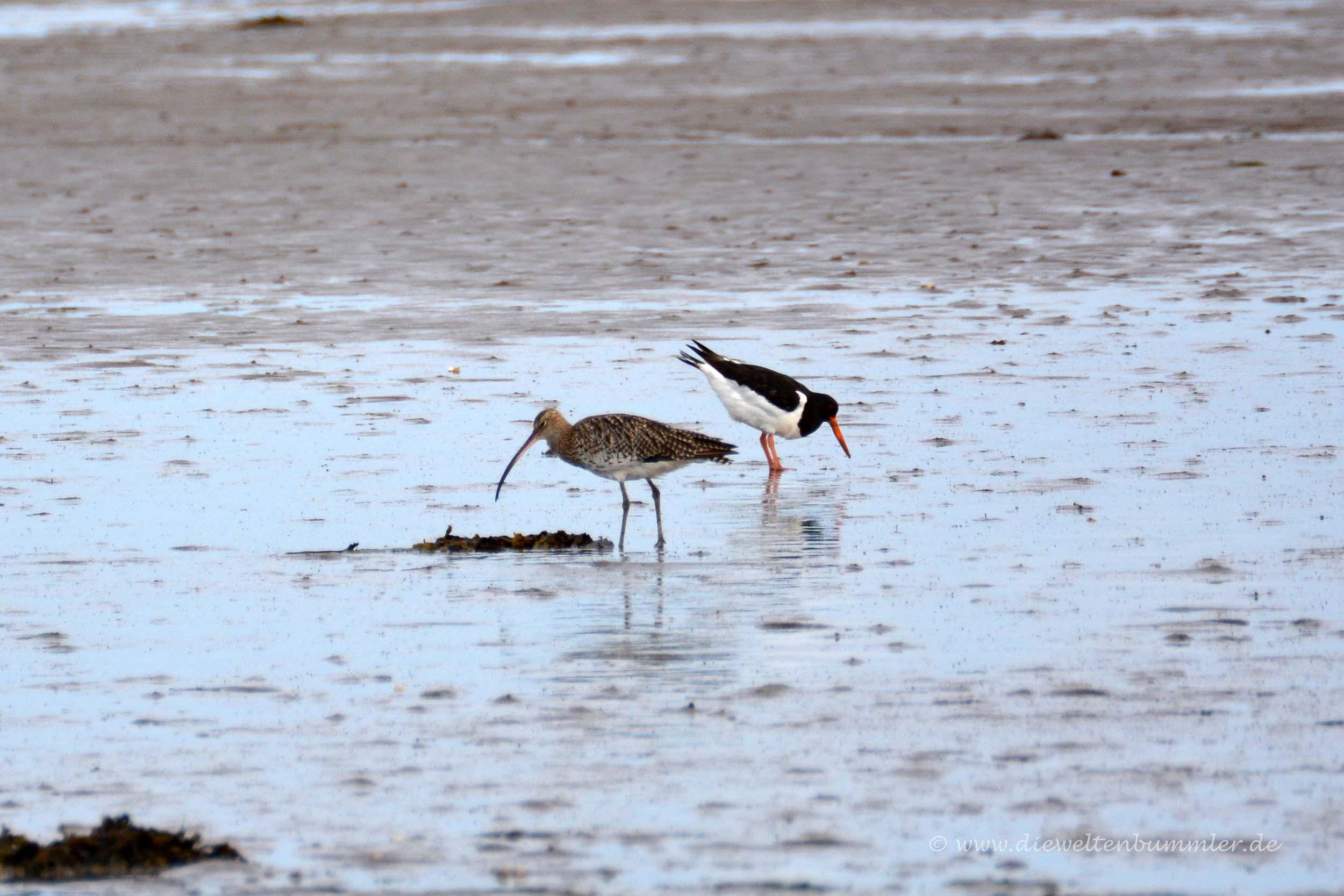 Großer Brachvogel und Austernfischer