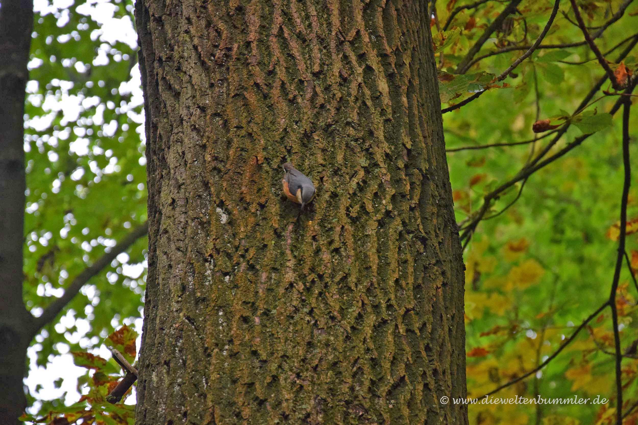Kleiber an einem Baum