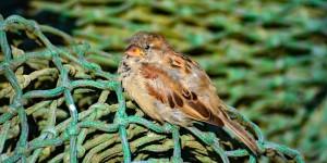 Spatz auf Fischernetz