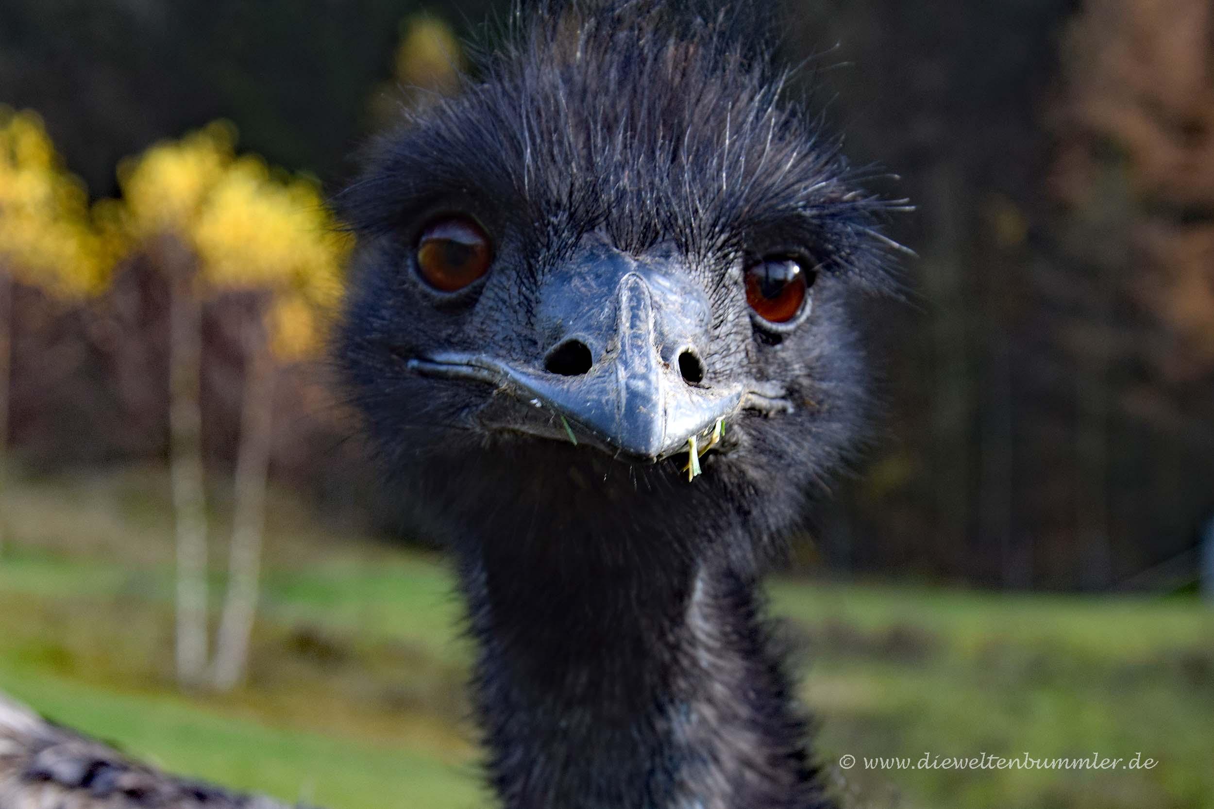 Emu am Galileopark
