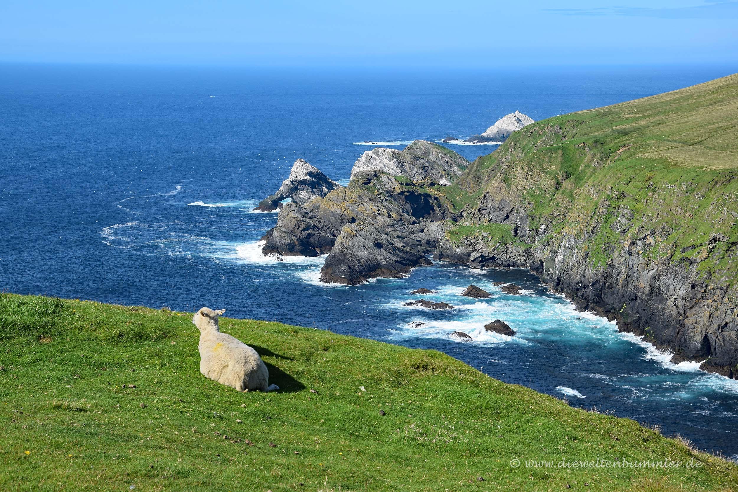 Entspanntes Schaf auf den Shetland-Inseln