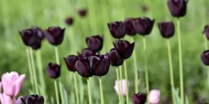 Dunkle Tulpen im Mollepark