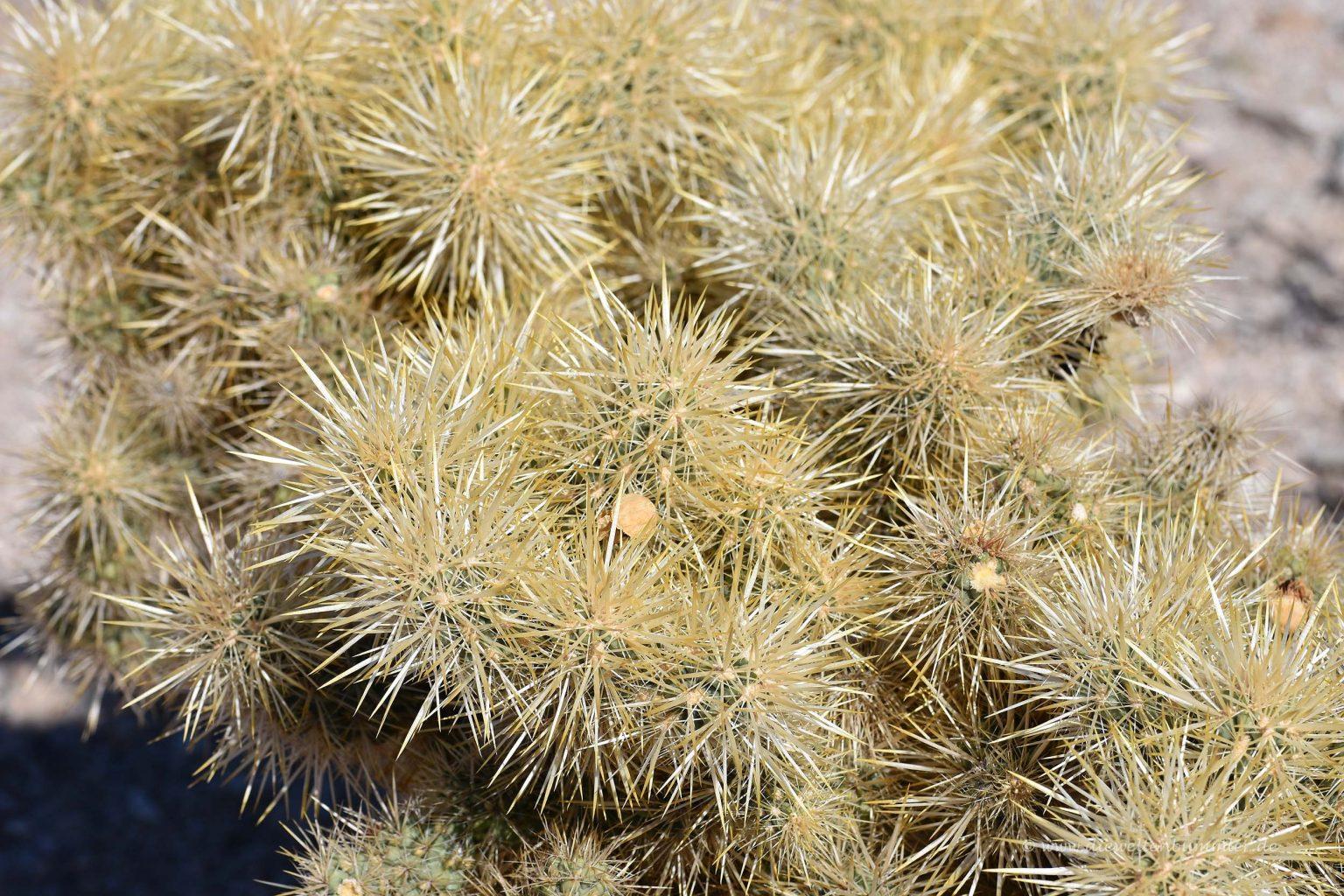 Kaktus in der Mojave-Wüste