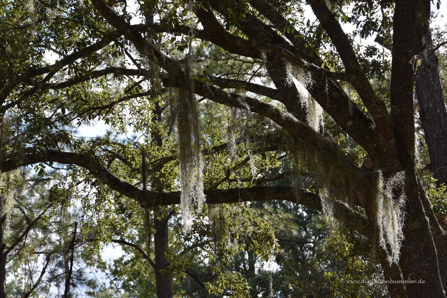 Sogenanntes Louisianamoos