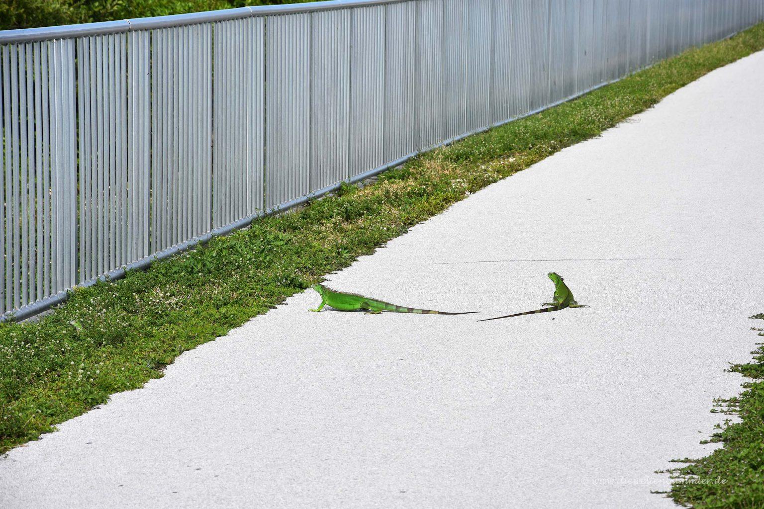 Grüner Leguan auf dem Fußweg