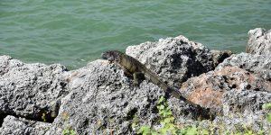 Grüner Leguan auf den Keys