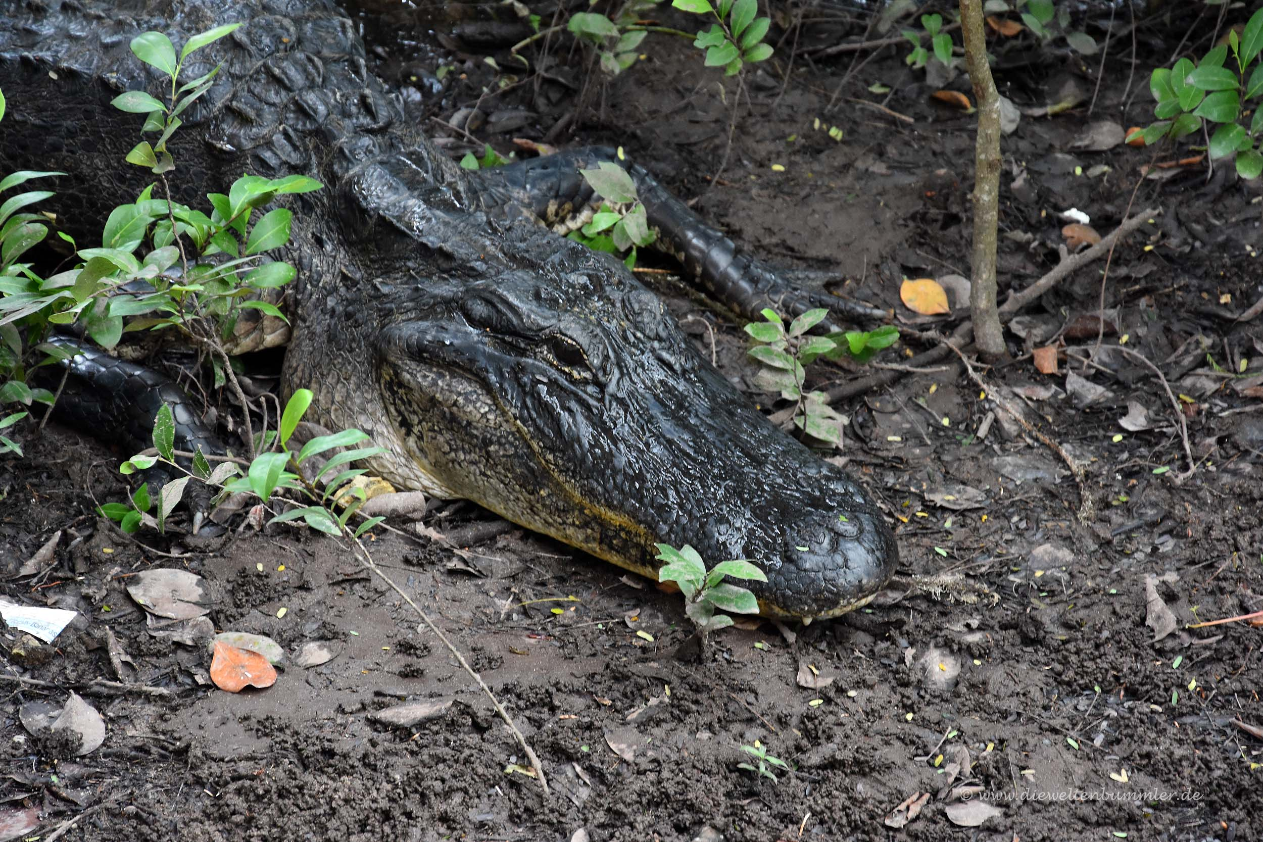 Alligator im Everglades Nationalpark