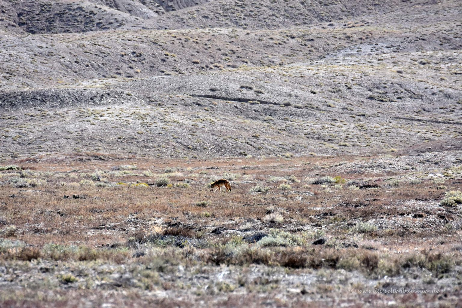 Kojote in Colorado