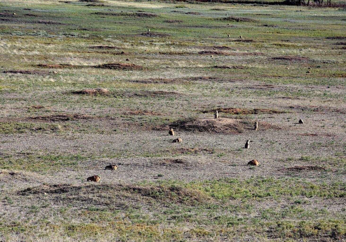 Feld mit Präriehunden