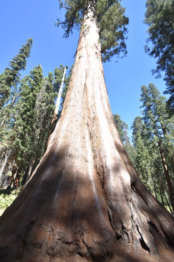 Riesiger Mammutbaum