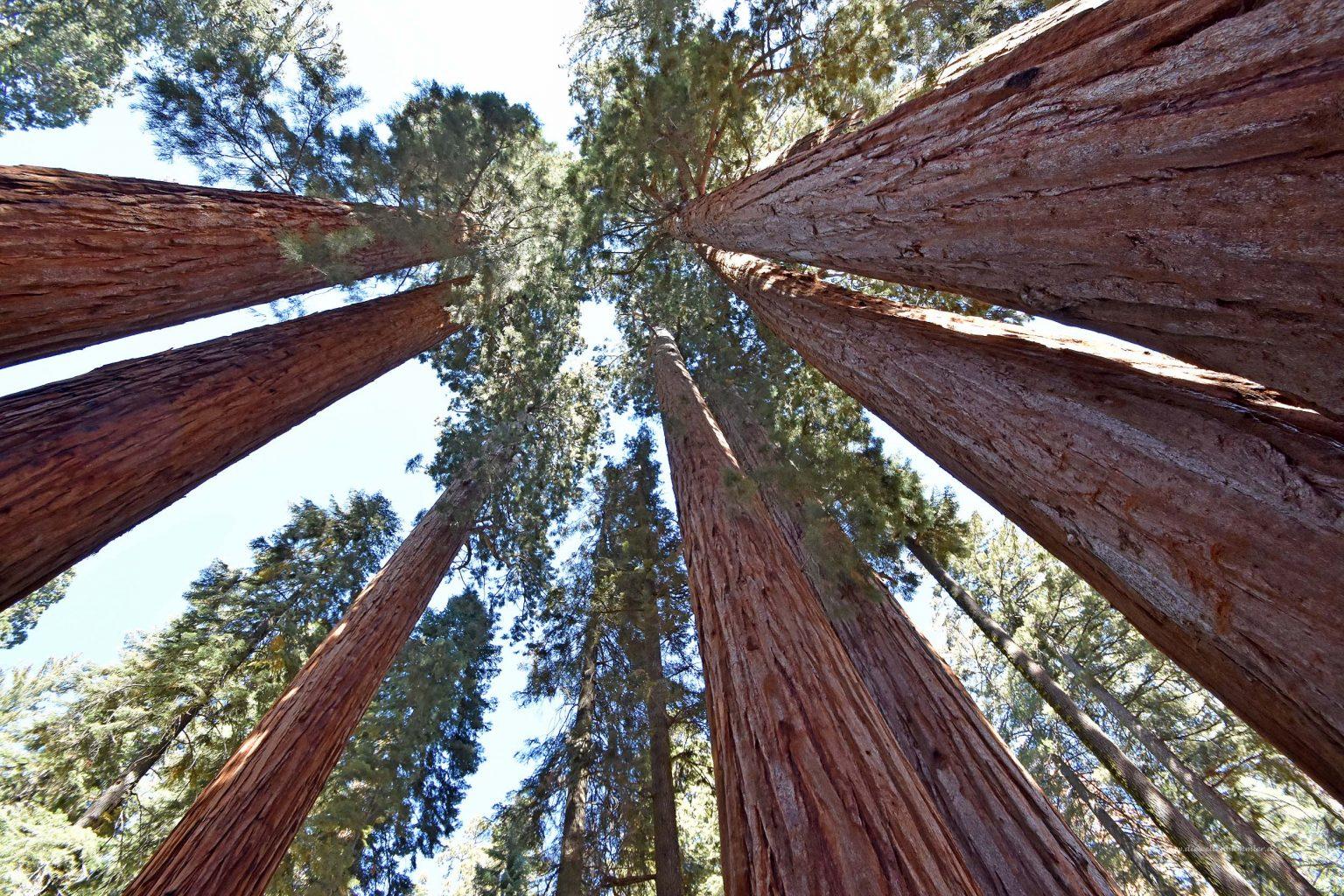 Sequoia-Bäume