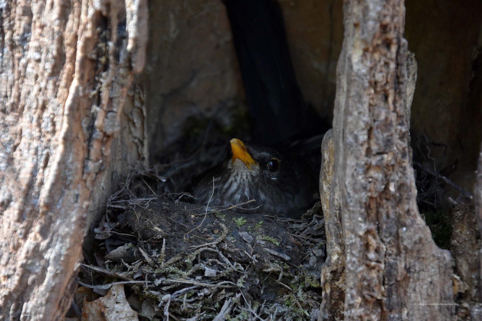 Vogelnest im Baumstamm