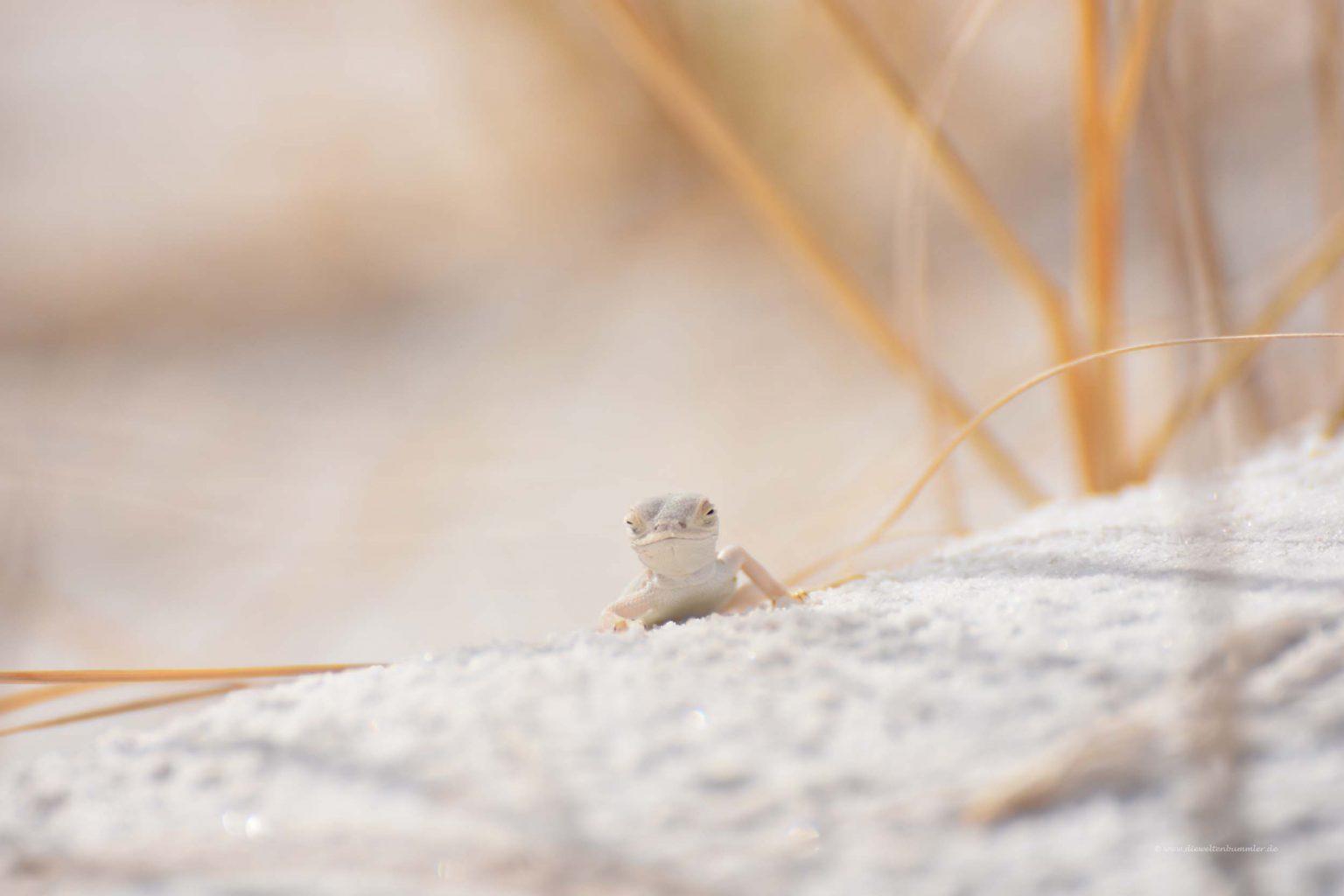 Weiße Echse White Lizard