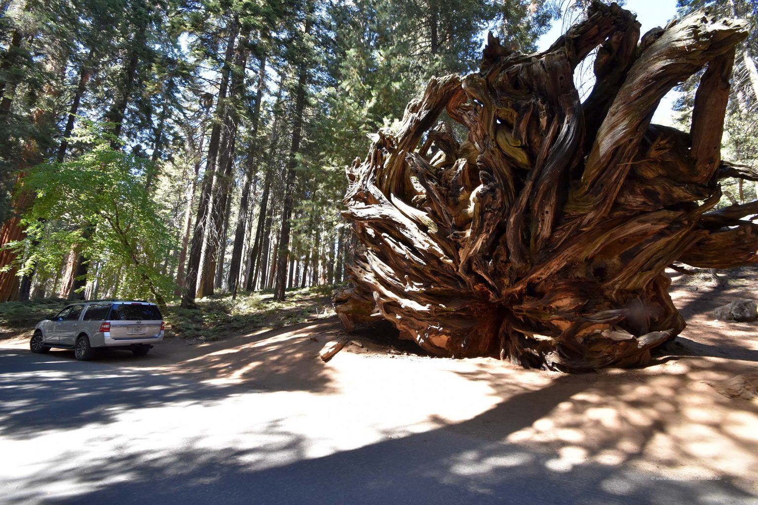 Wurzeln eines umgestürzten Mammutbaums