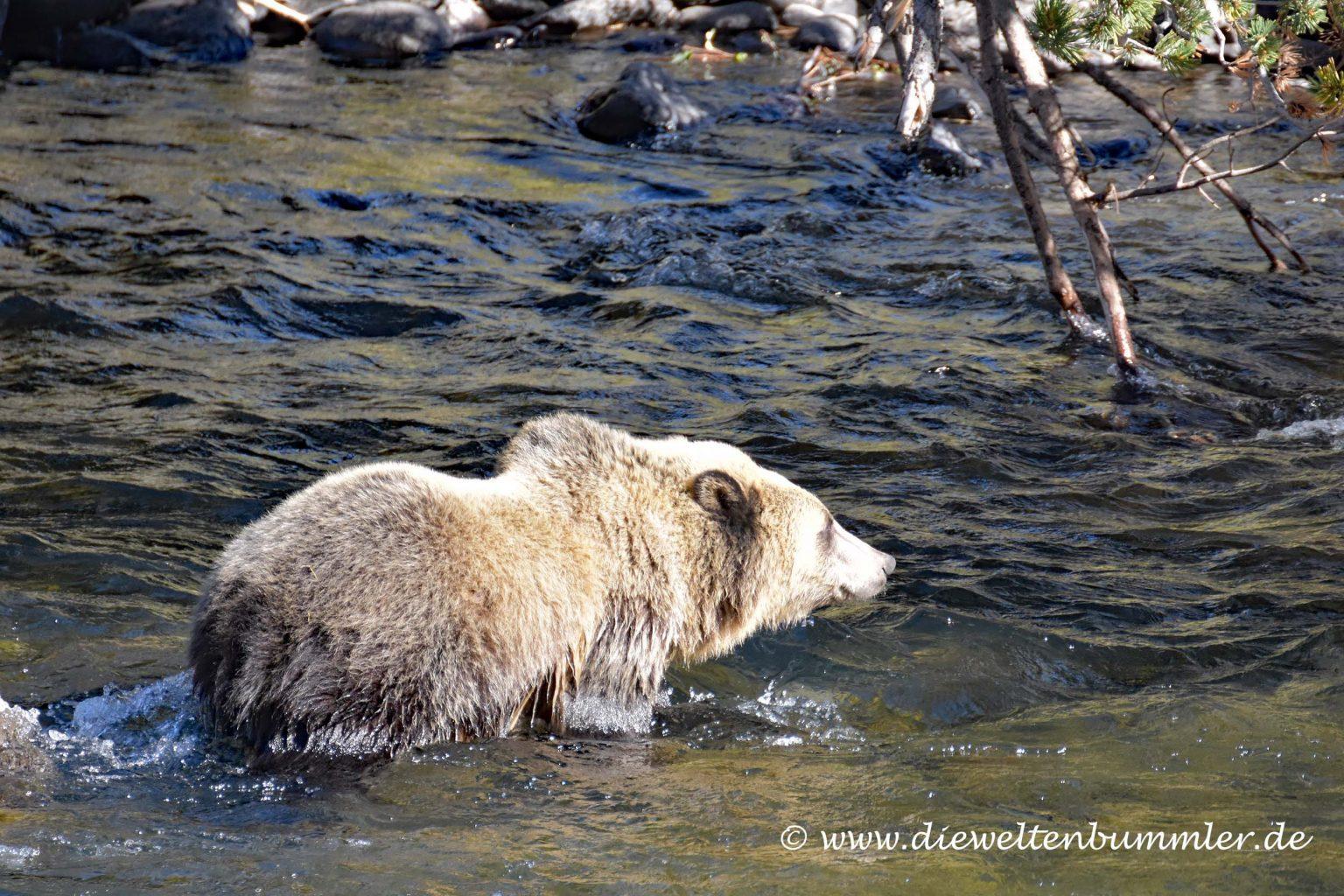 Grizzly im Fluss