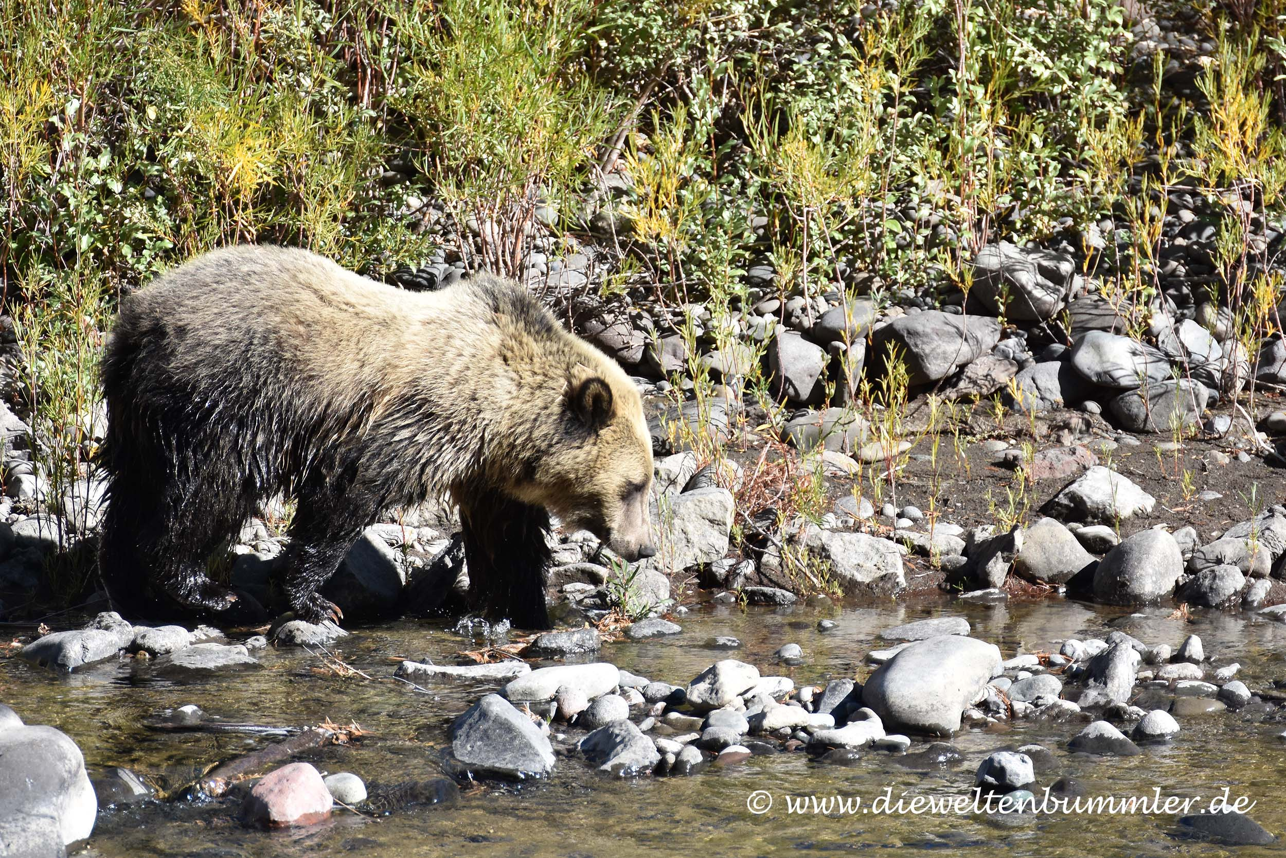 Völlig entspannter Grizzlybär