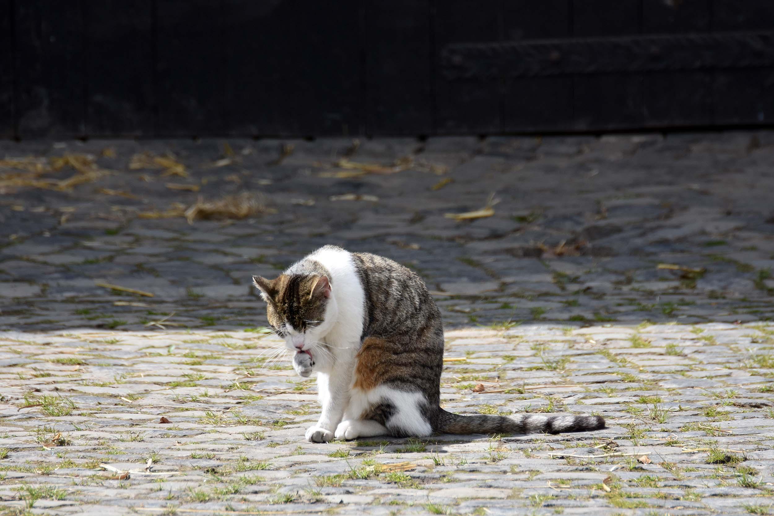 Sich putzende Katze