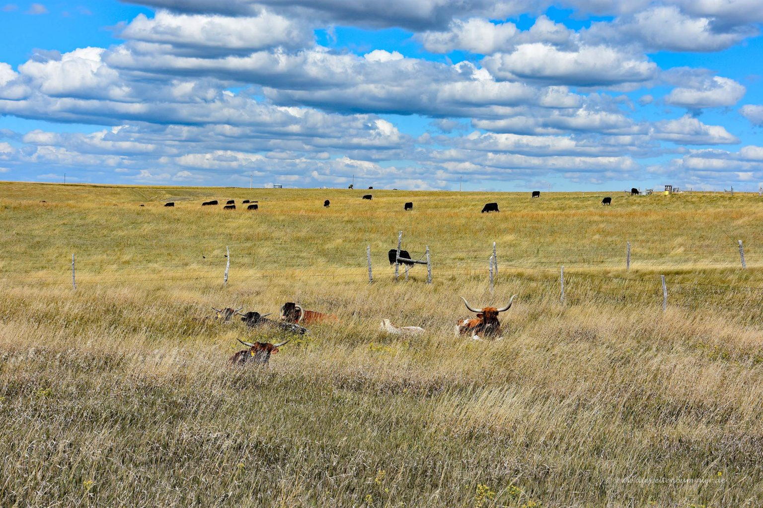 Rinderherde in South Dakota