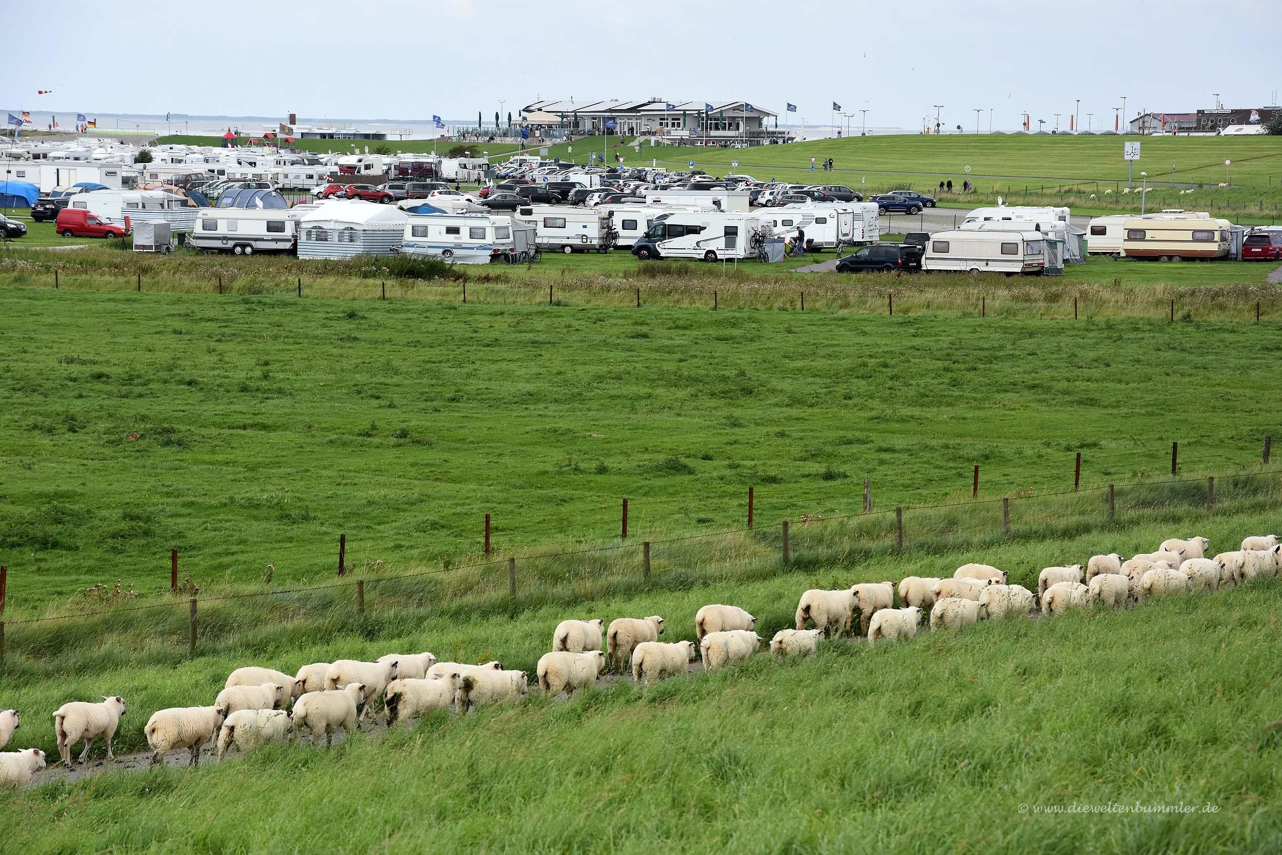 Schafe in Kolonne