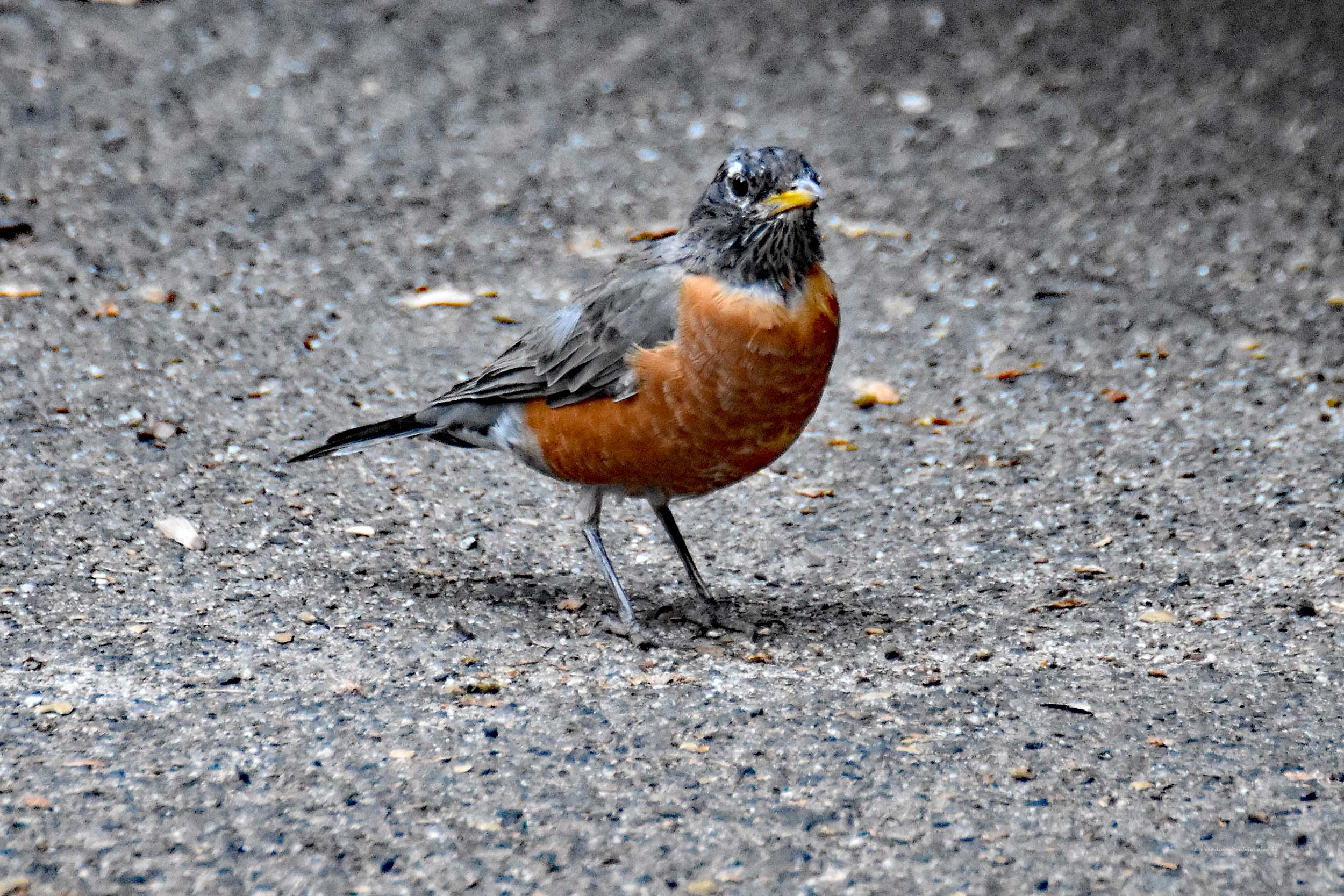 American Robin alias Wanderdrossel