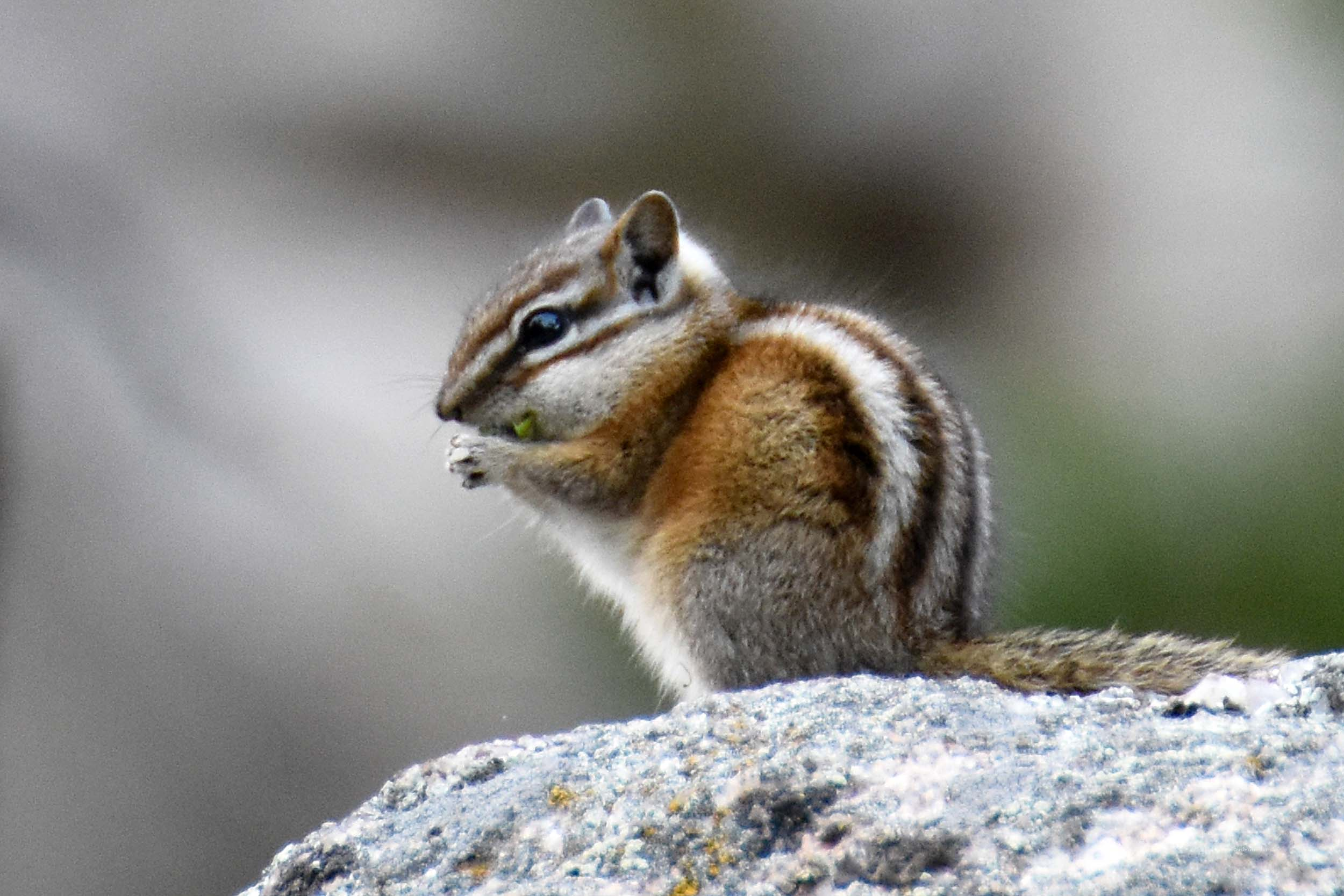 Chipmunk am Mount Rushmore