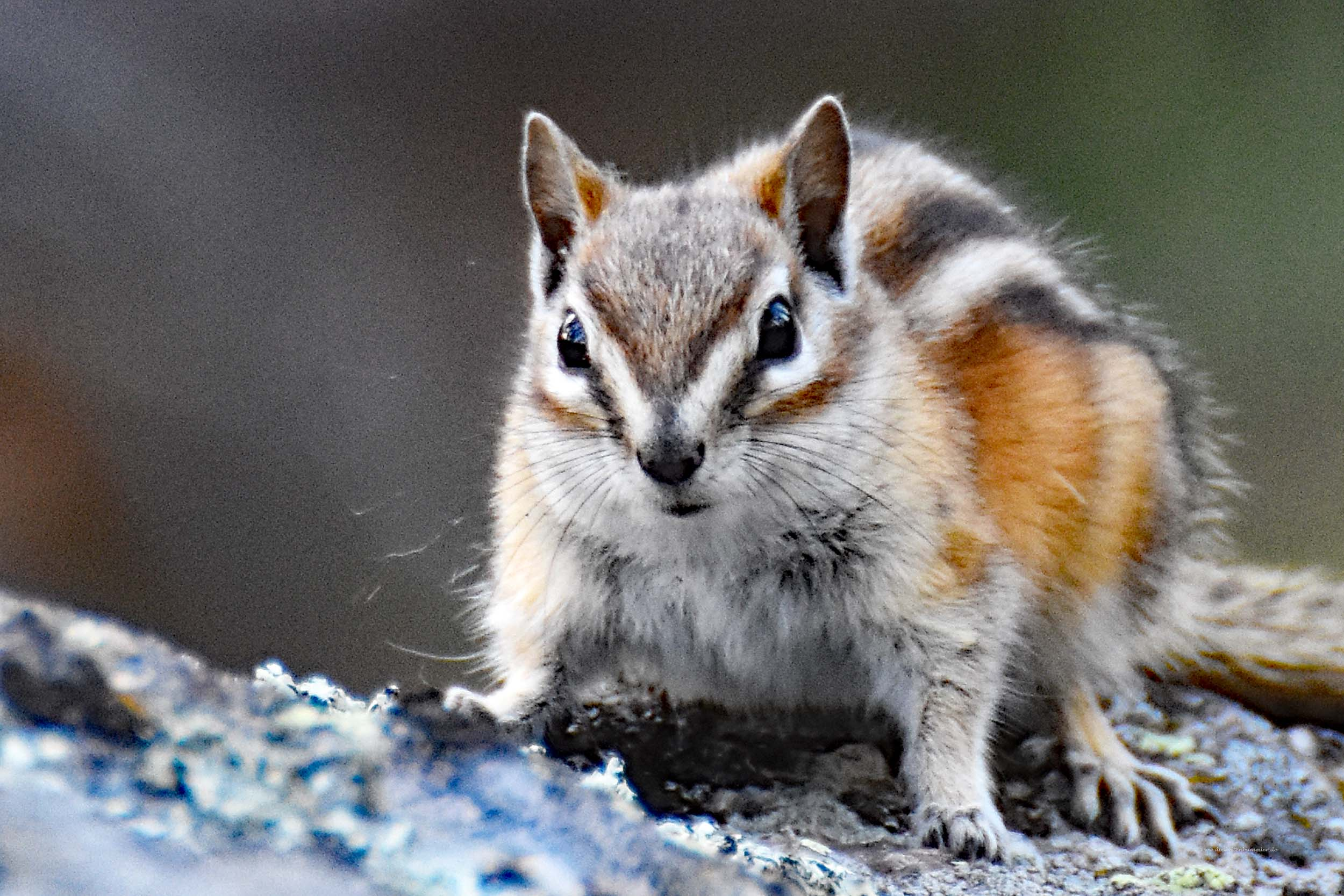 Chipmunk in den USA