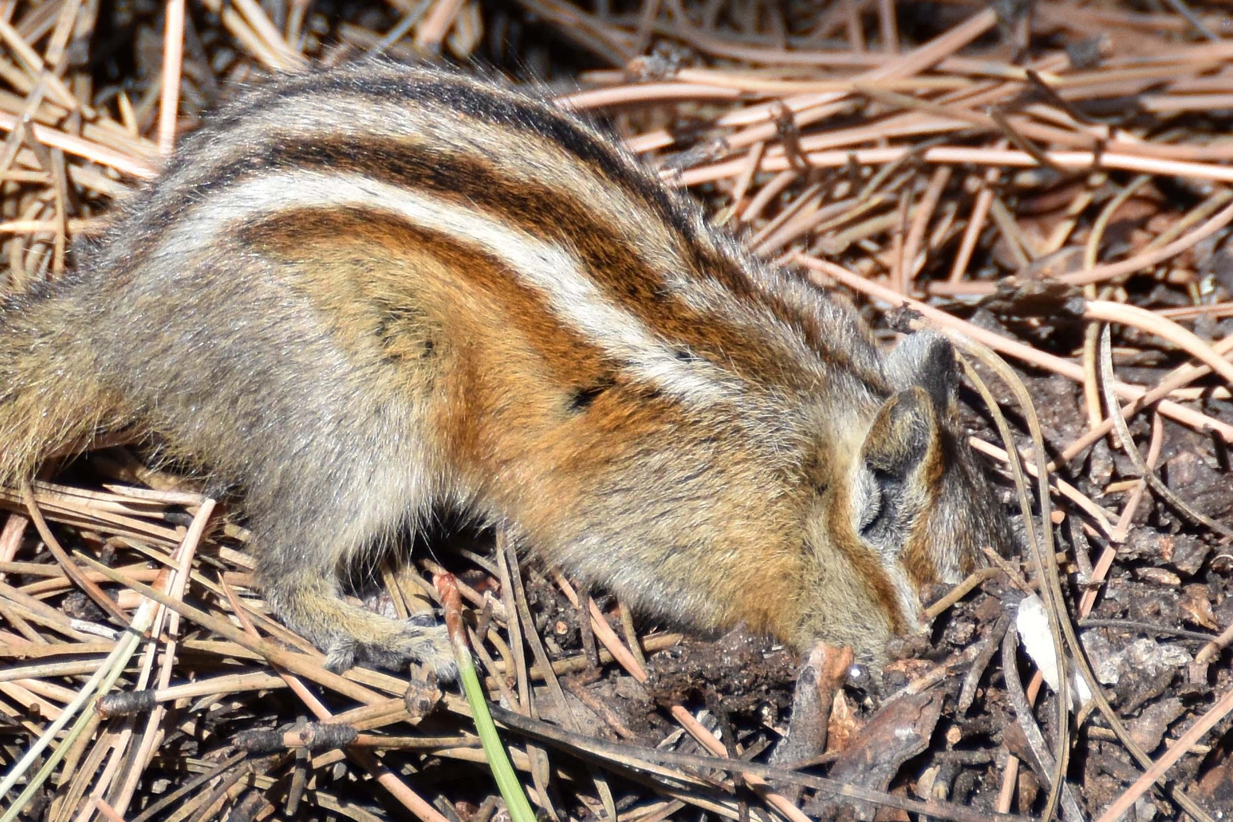 Das Streifenhörchen sucht Futter