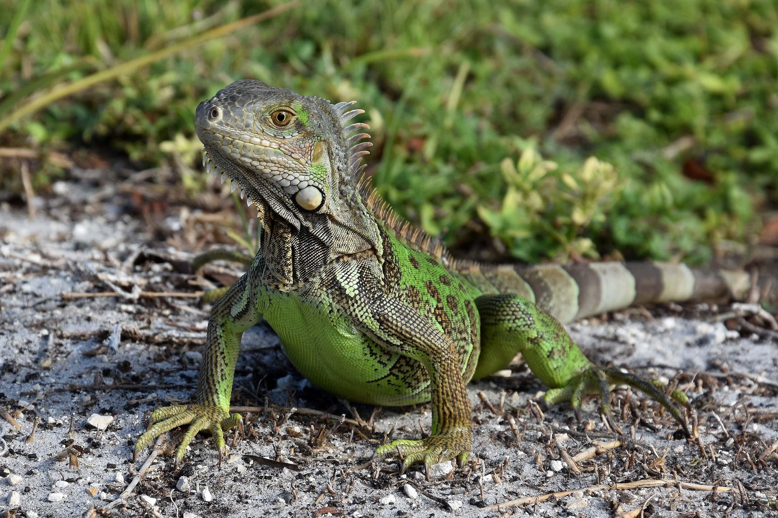 Grüner Leguan auf den Florida Keys