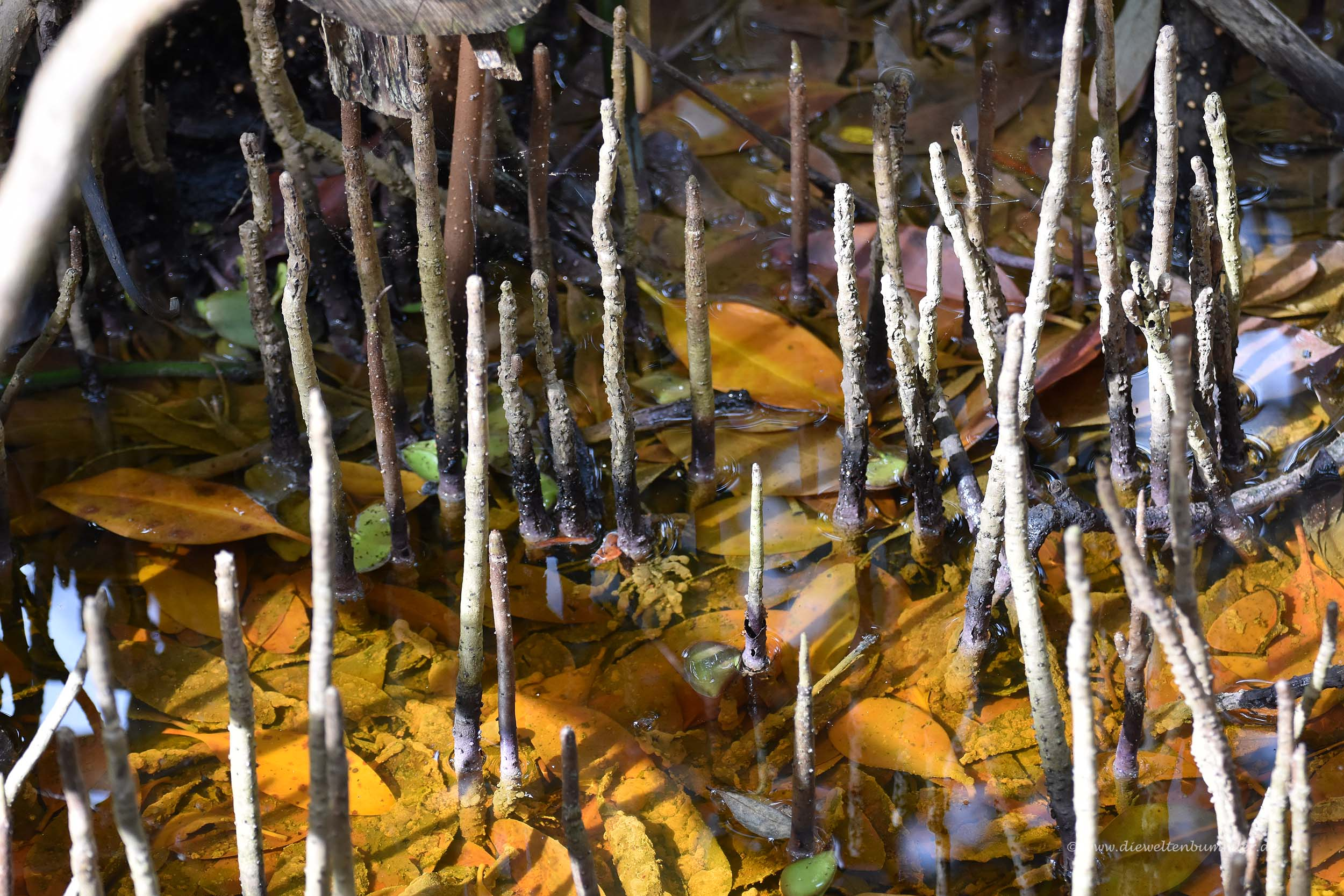 Mangrovenpflanzen
