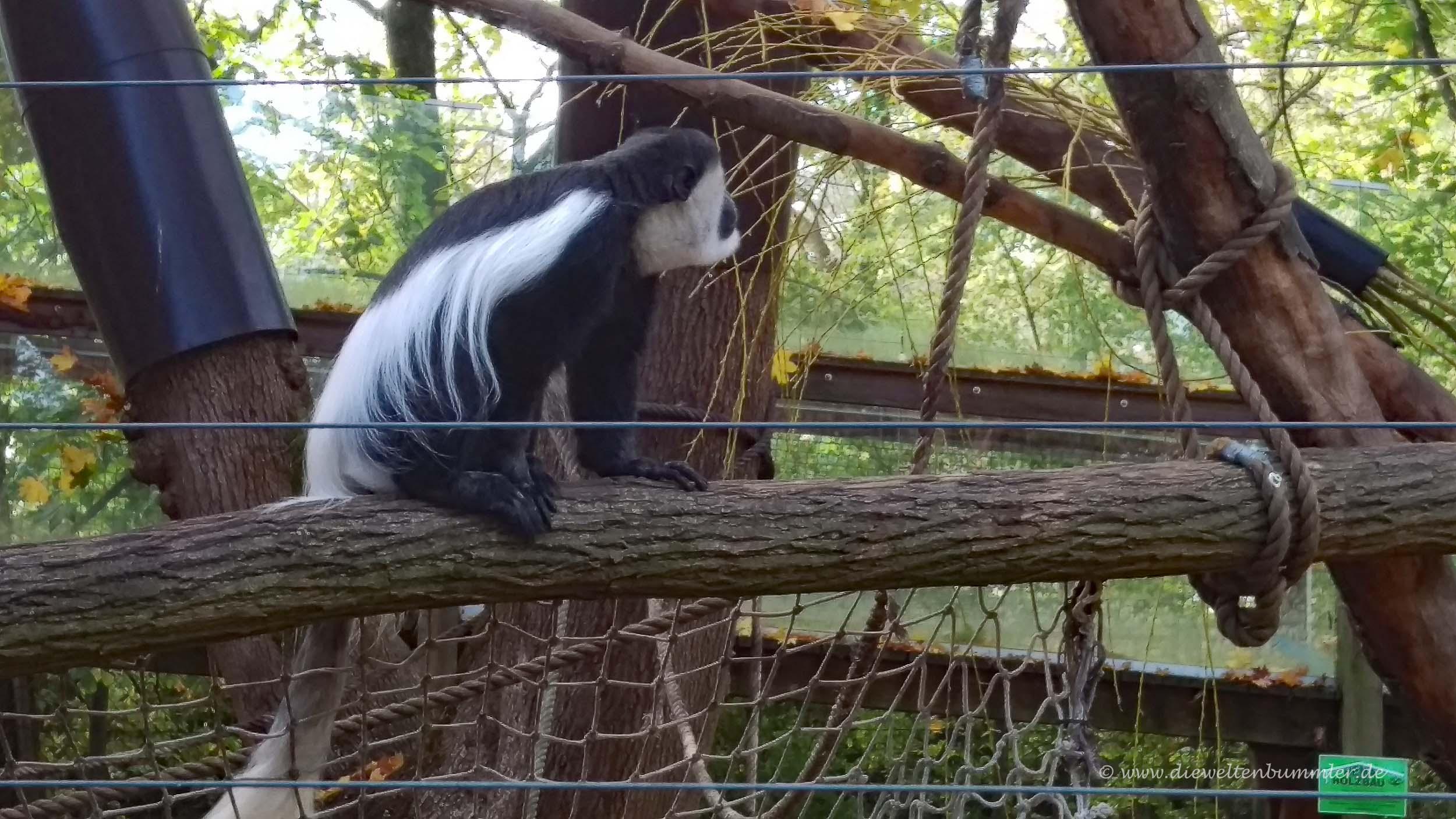 Mantelaffe im Tiergarten