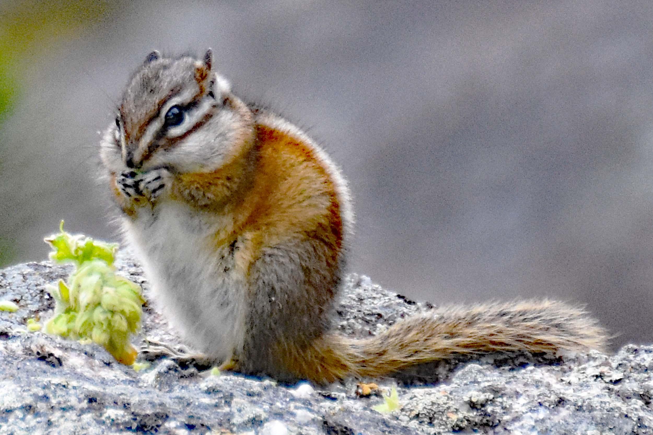 Streifenhörnchen beim Fressen