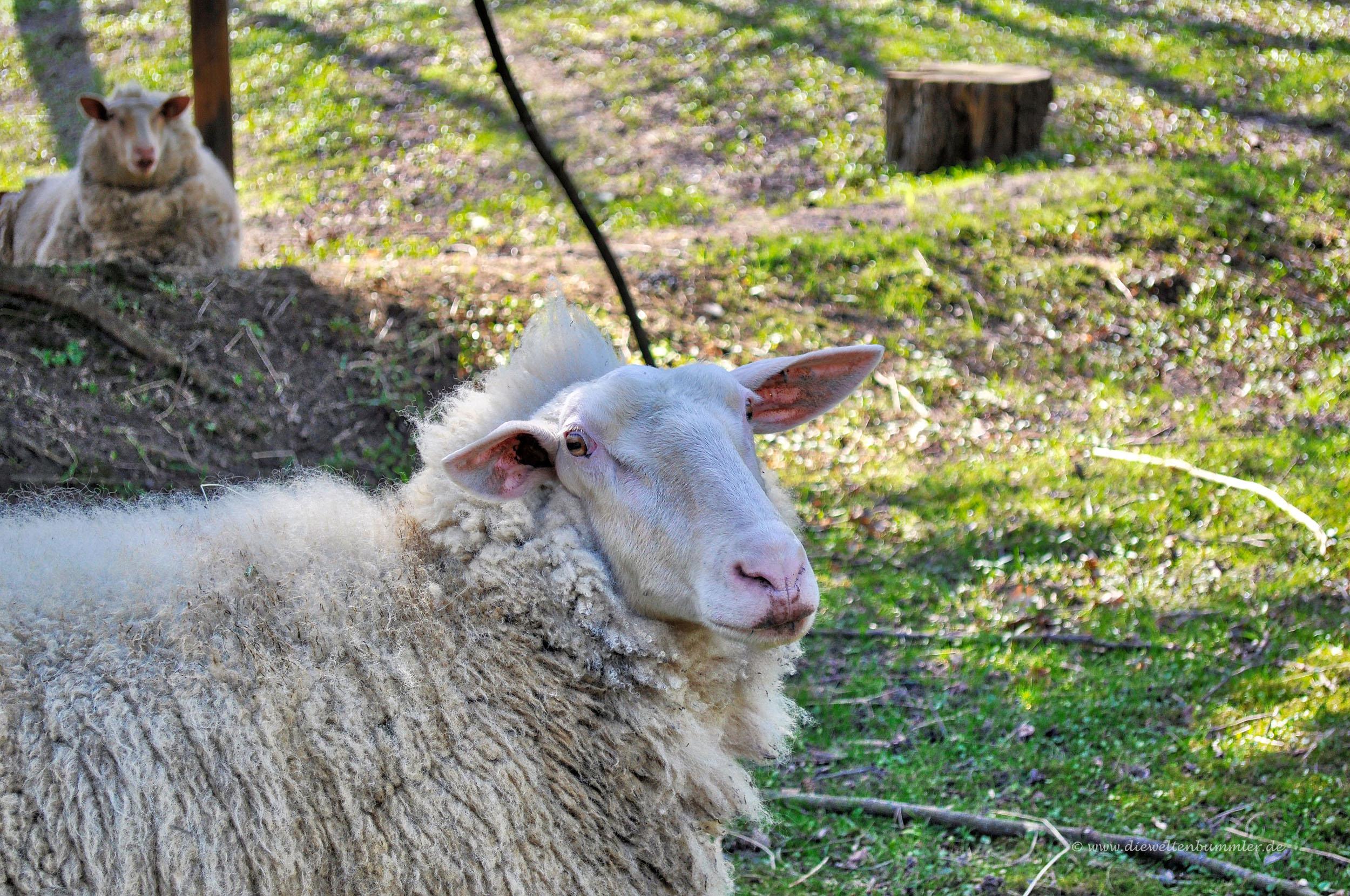 Schaf im Heissiwald