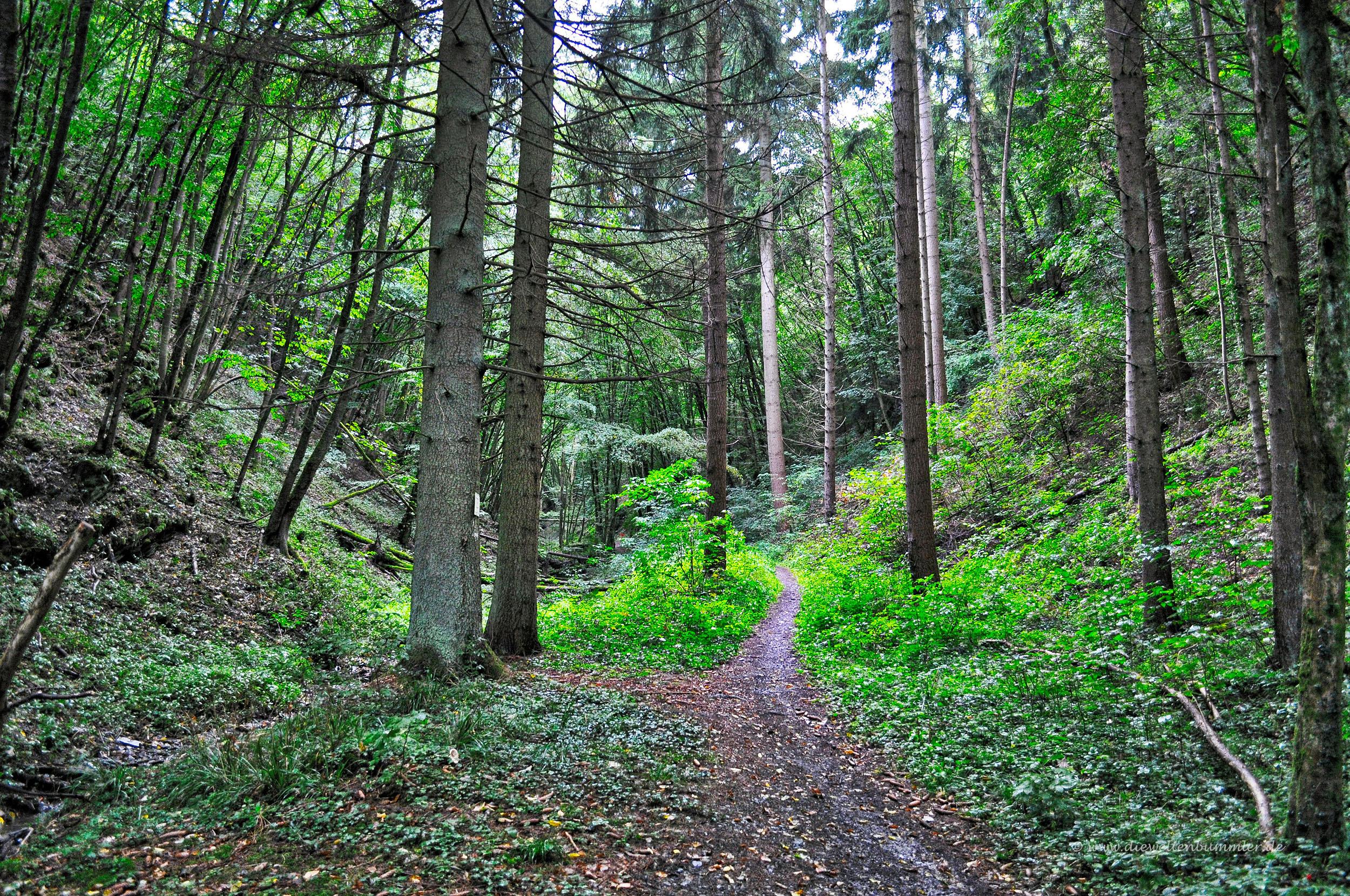 Der Mosel Camino führt durch den Wald