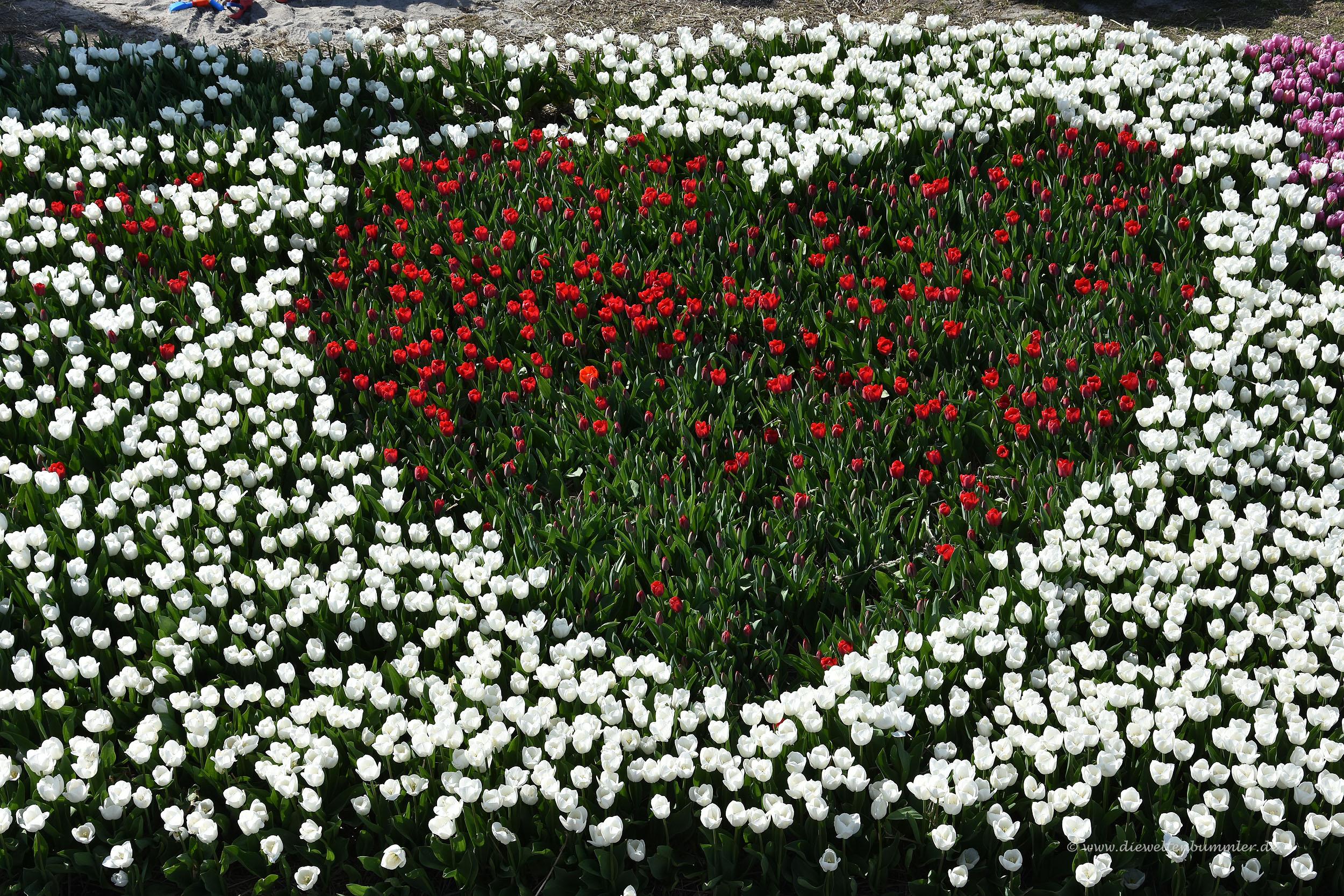 Ein Herz aus Tulpen