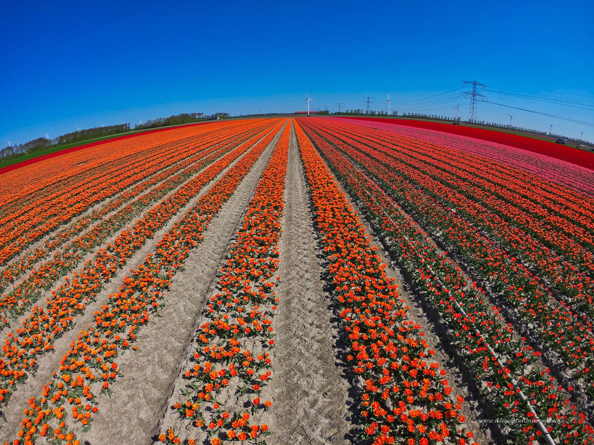Lauter Tulpenreihen