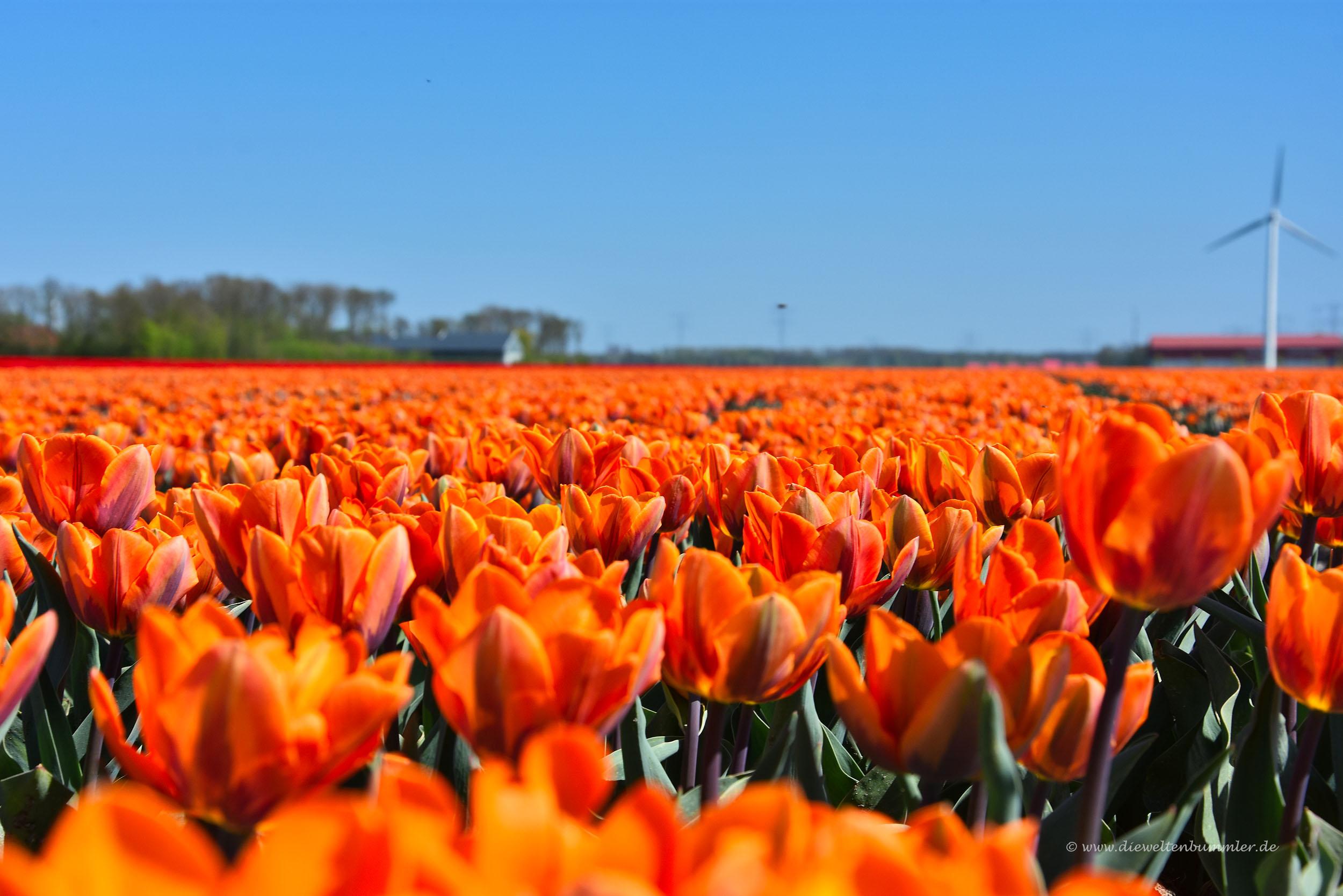 Oranje-Tulpen