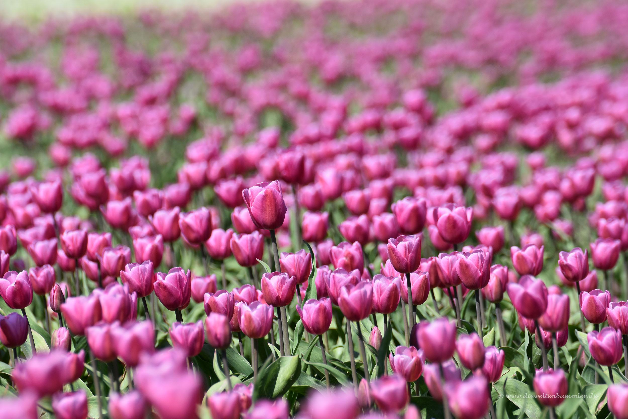 Prächtige Tulpen