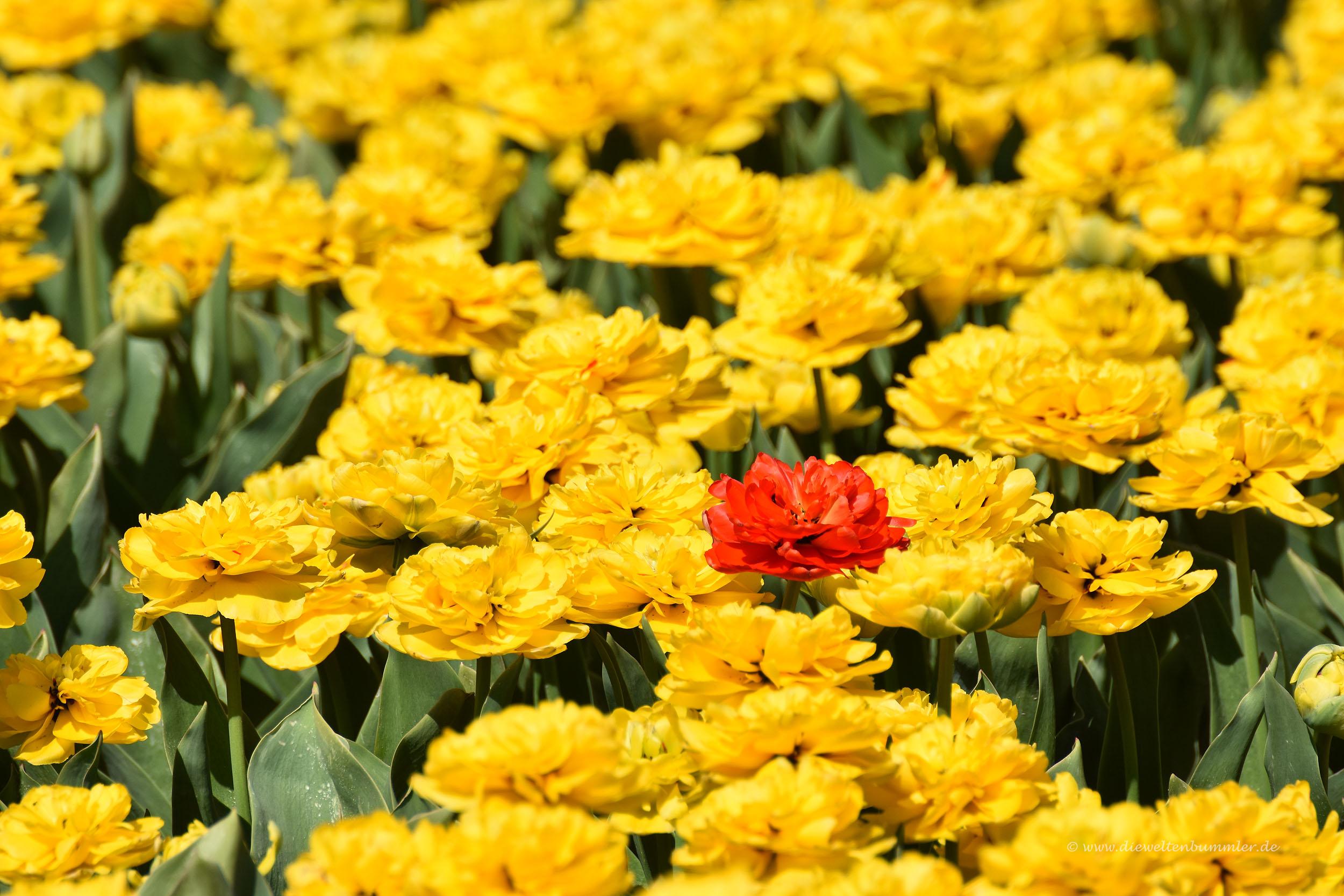 Rote Tulpe im gelben Feld
