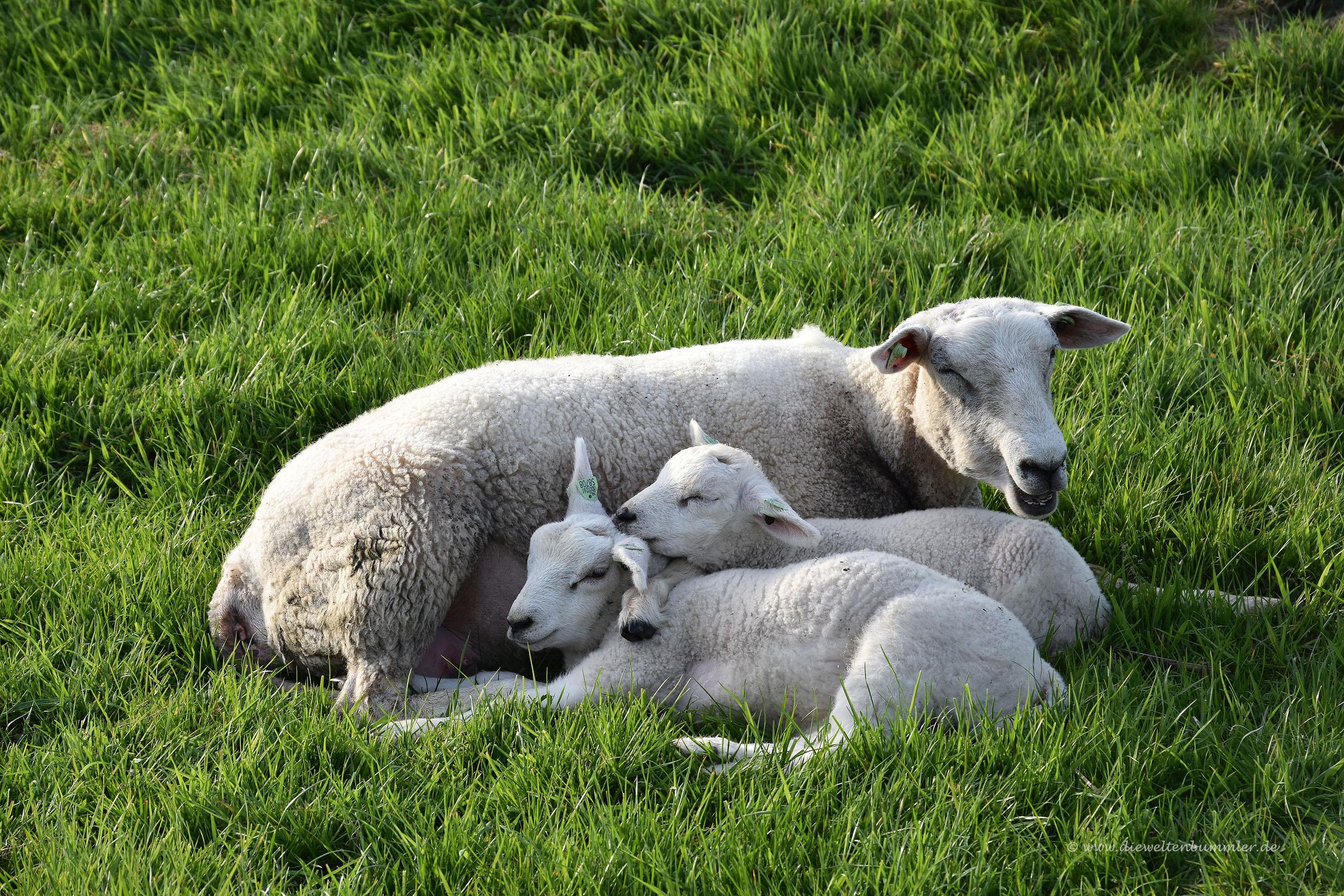 Schaf mit Lämmern
