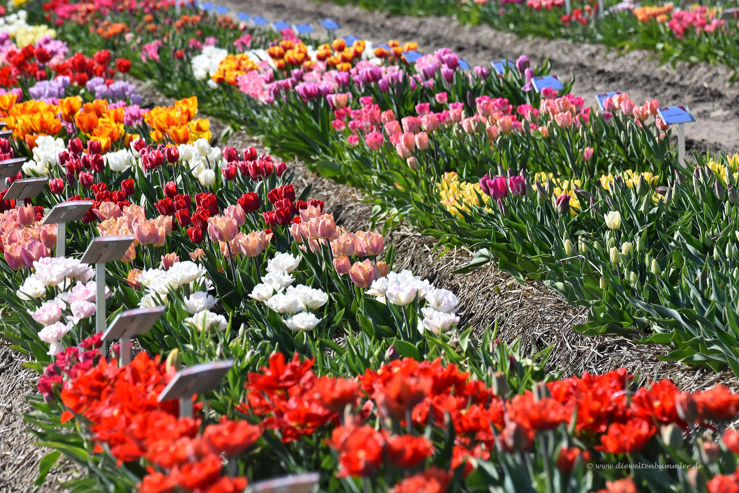 Viele verschiedene Tulpenarten
