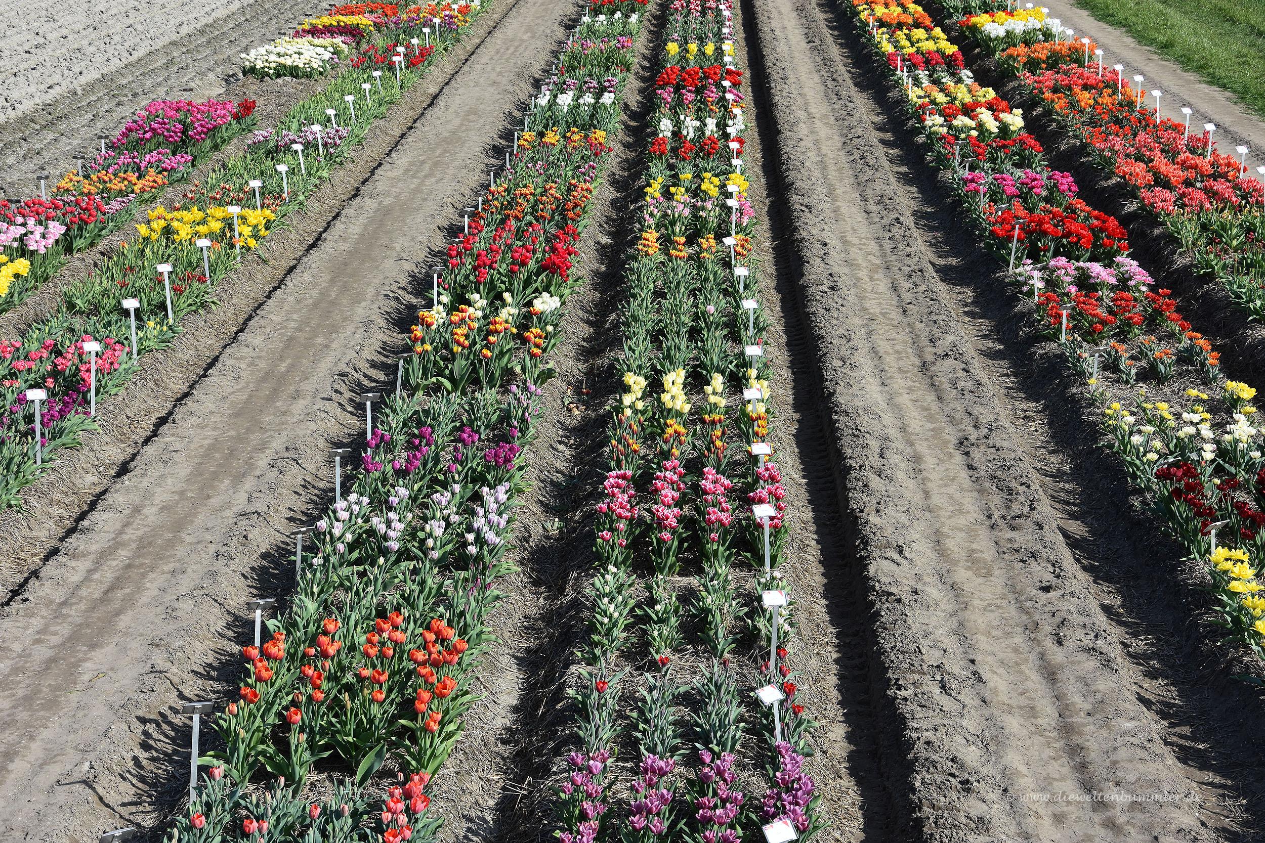 Vielfältige Tulpenvariationen