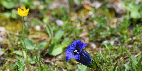 Blauer Enzian in den Alpen