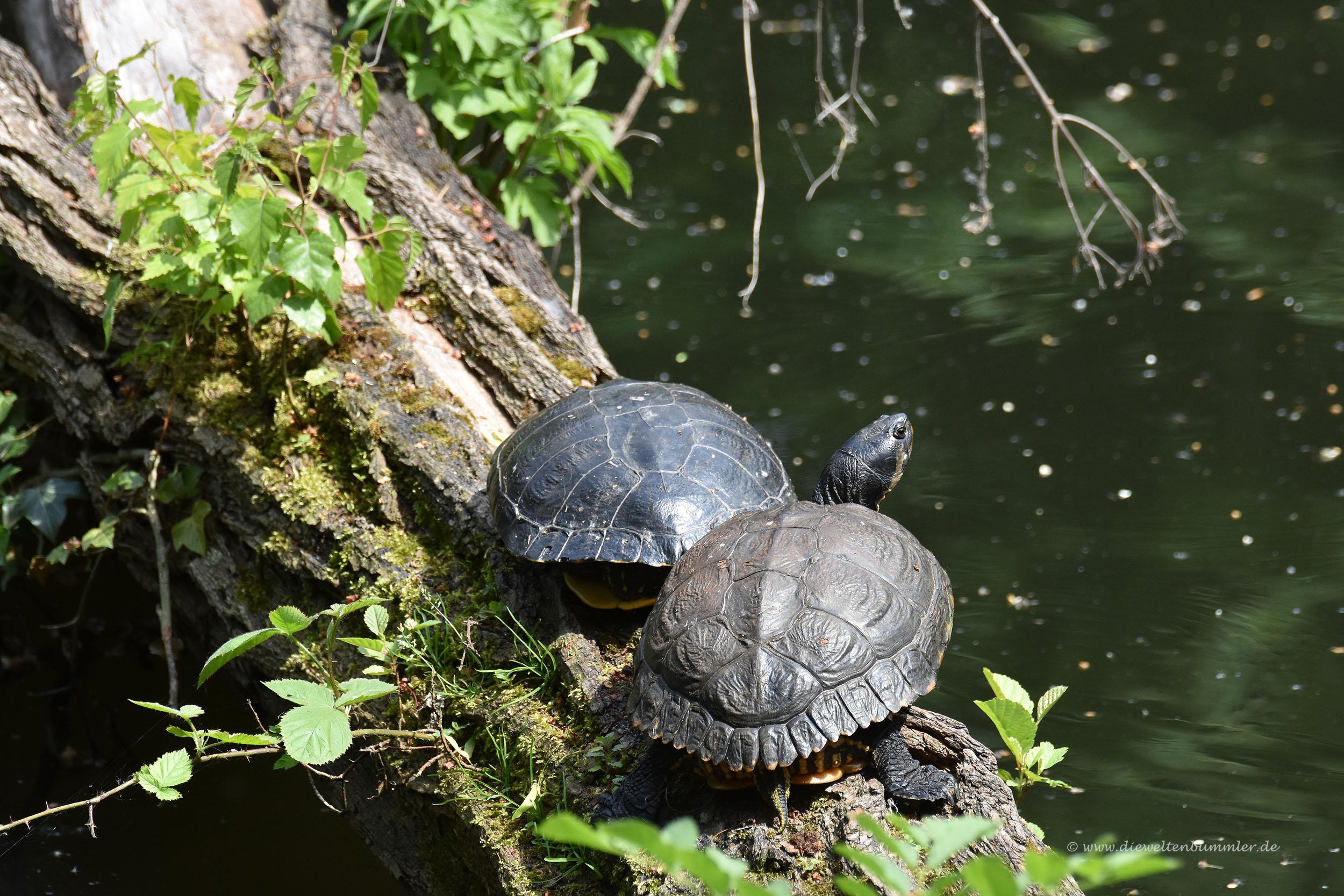Ausgesetzte Schildkröten