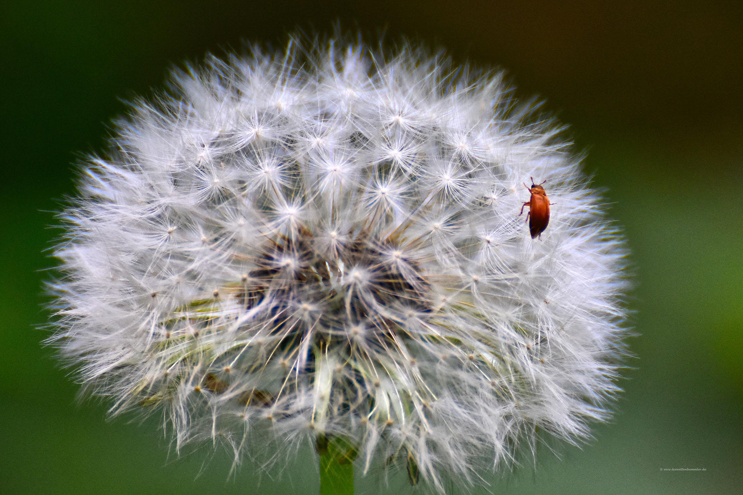 Der Käfer krabbelt über die Pusteblume