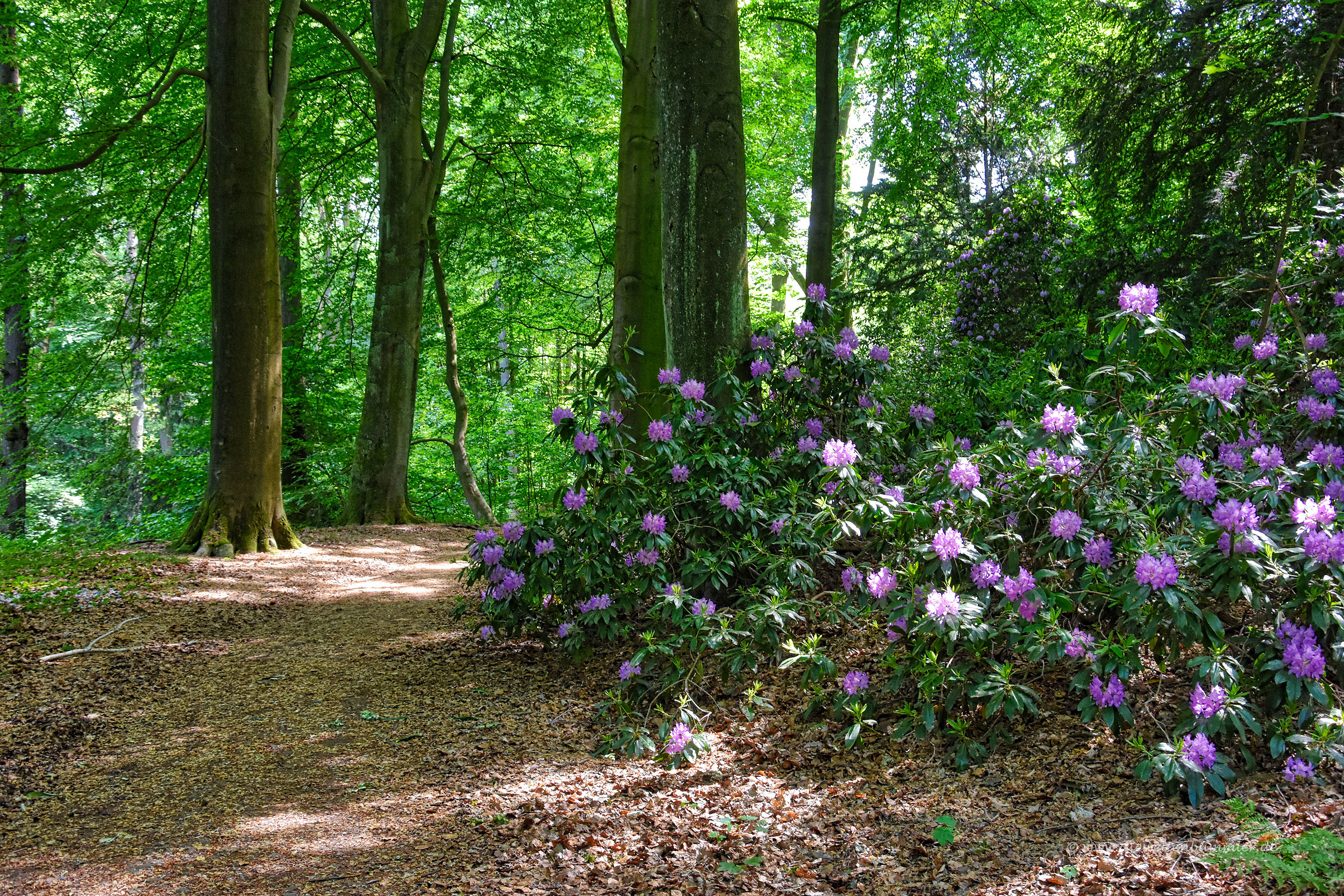 Rhododendron im Kruppwald