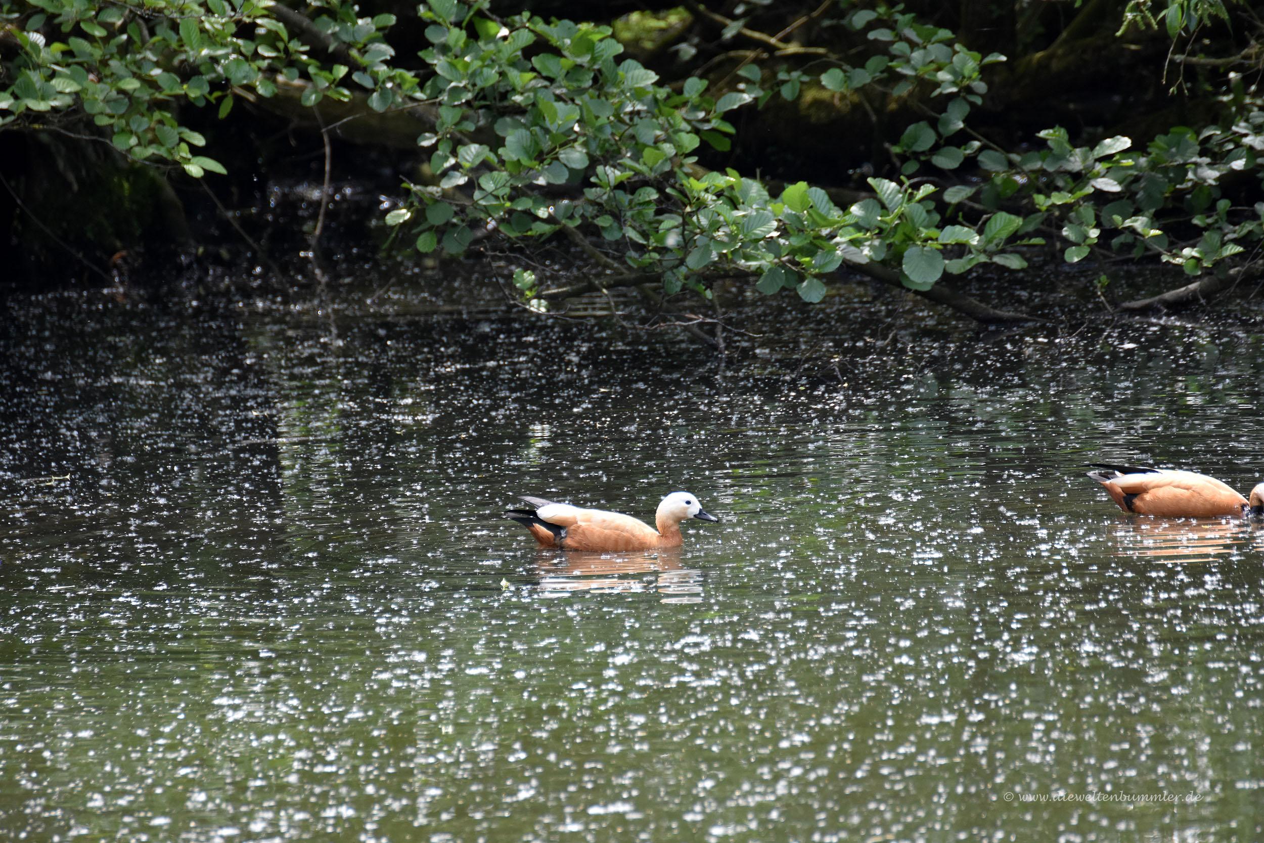 Rostgänse im Vogelschutzgebiet