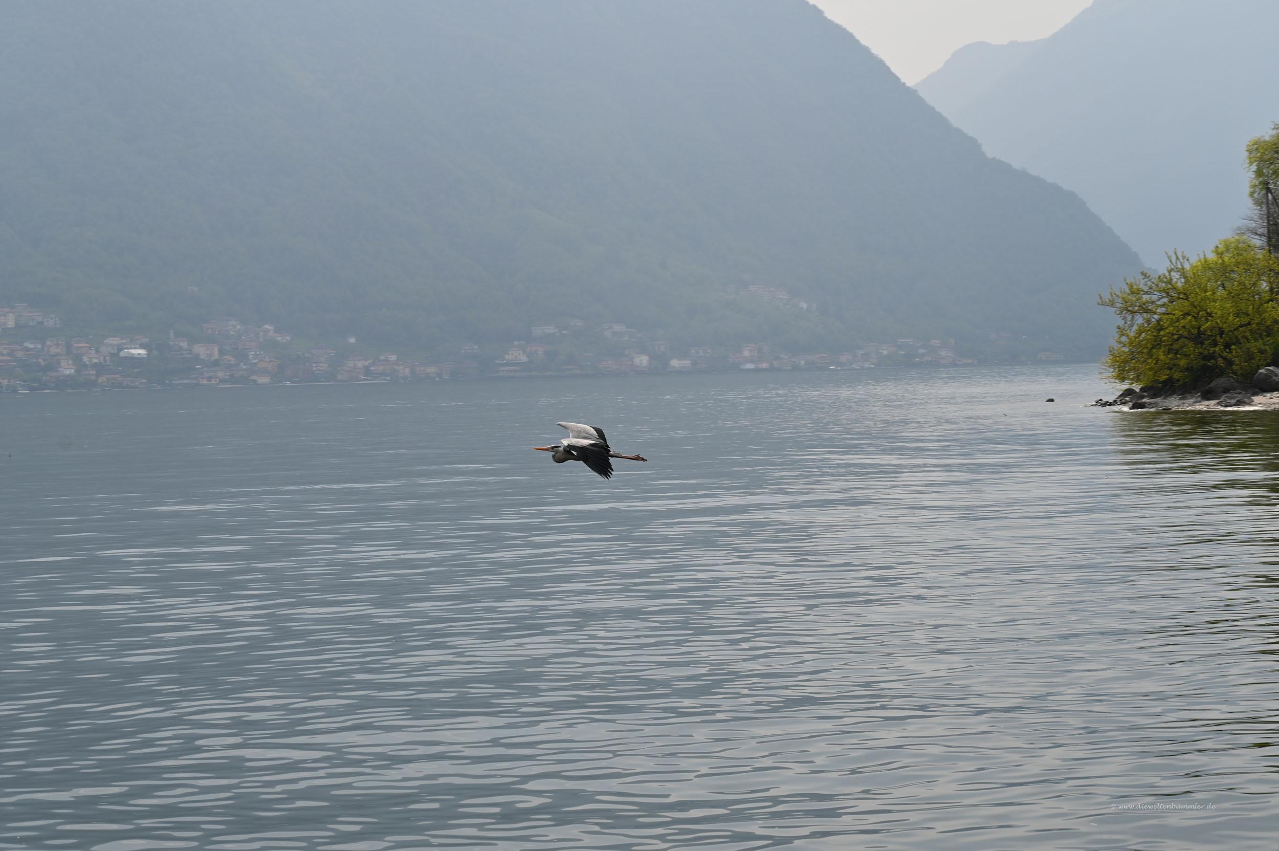 Reiher über dem See