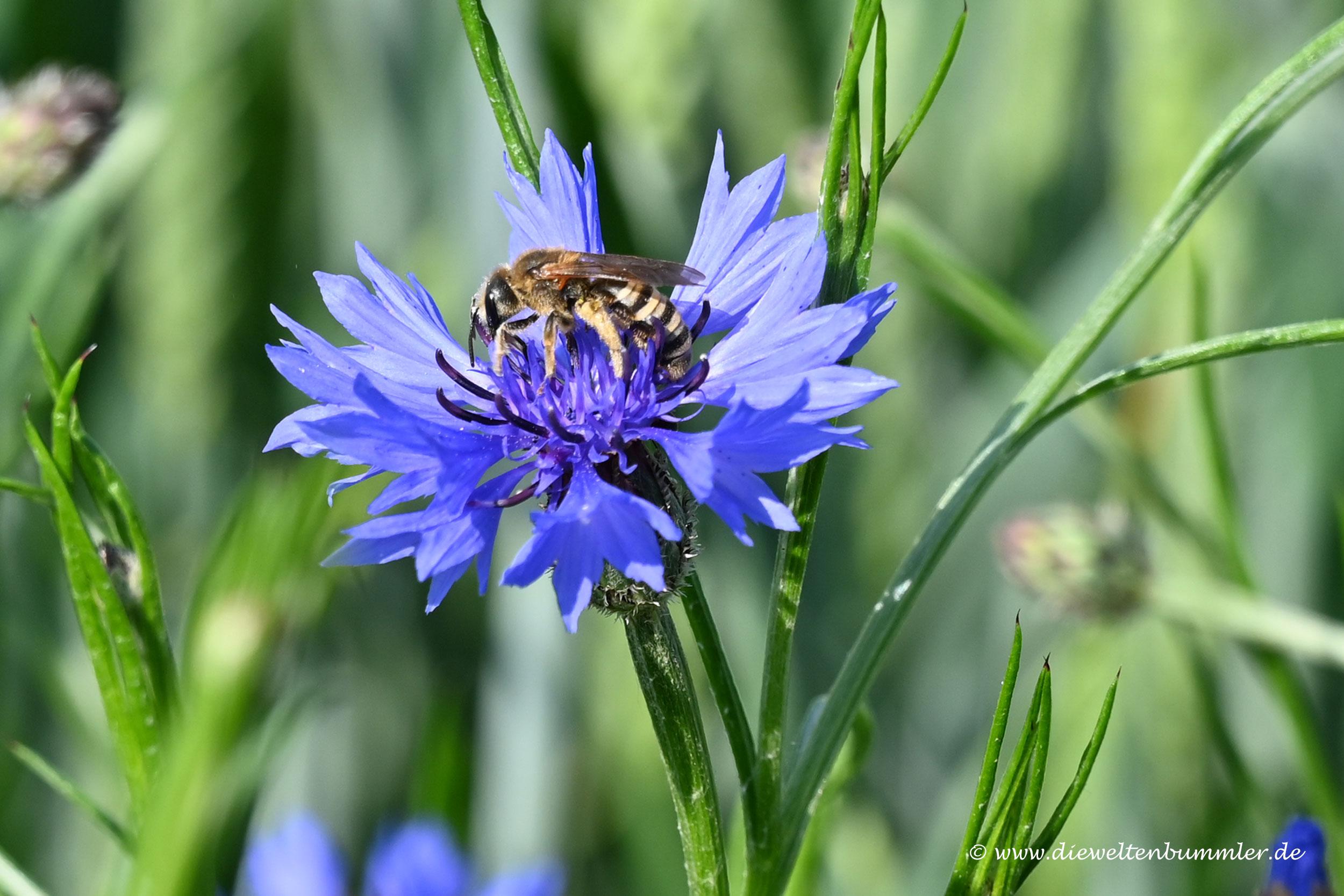 Biene in Kornblume