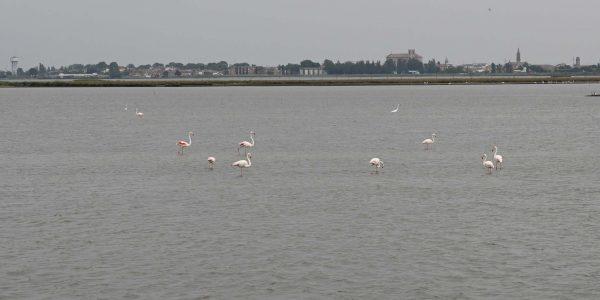 Flamingos im Po-Delta