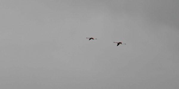 Fliegende Flamingos